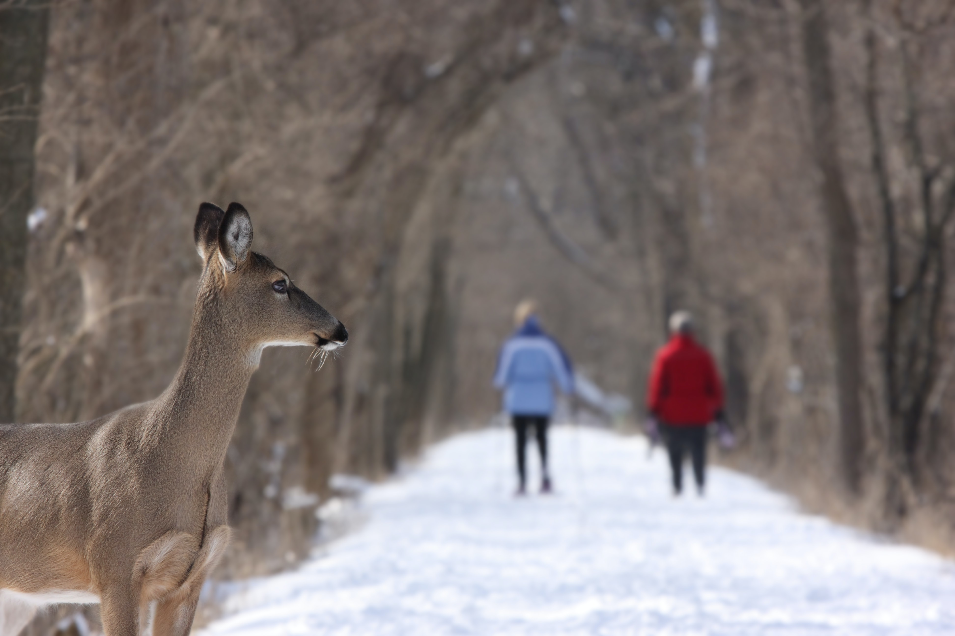 Deer standing on a snow covered path in the forest with two people in the background