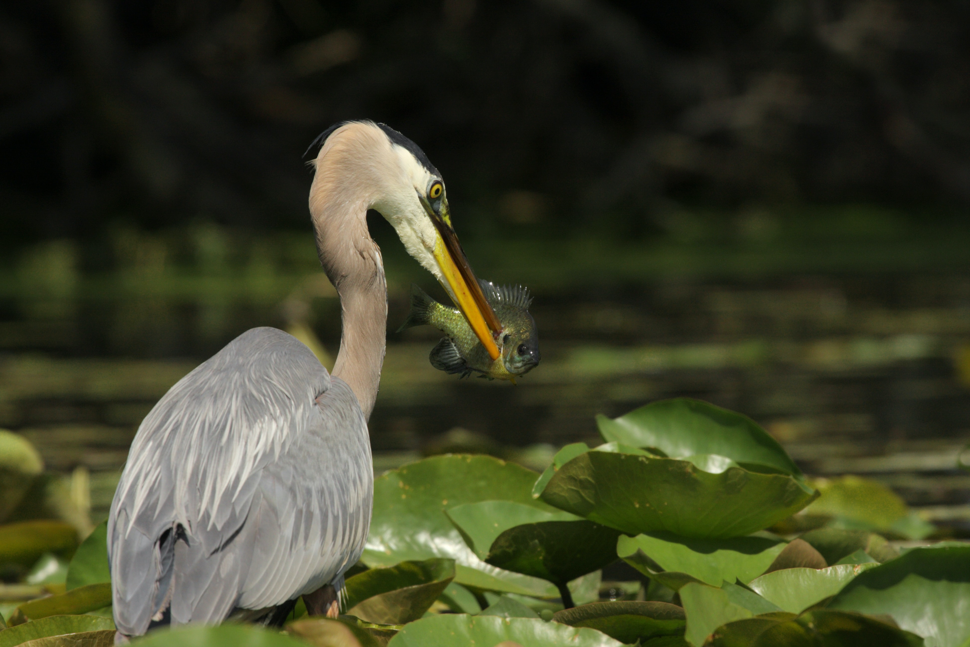 Pelican in a leafy pond catches fresh fish to eat