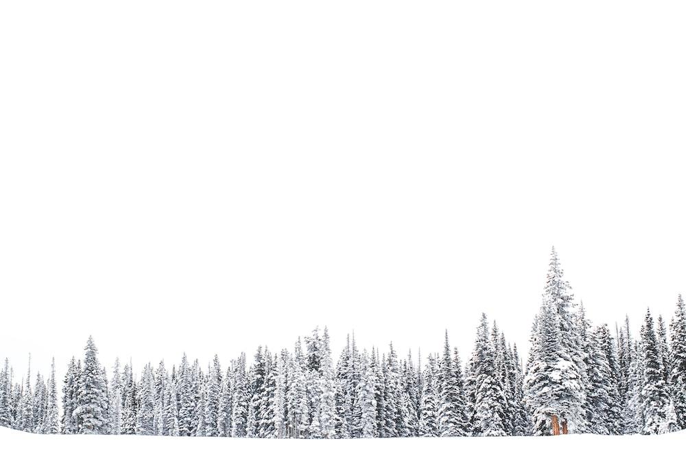 pine trees on snowfield