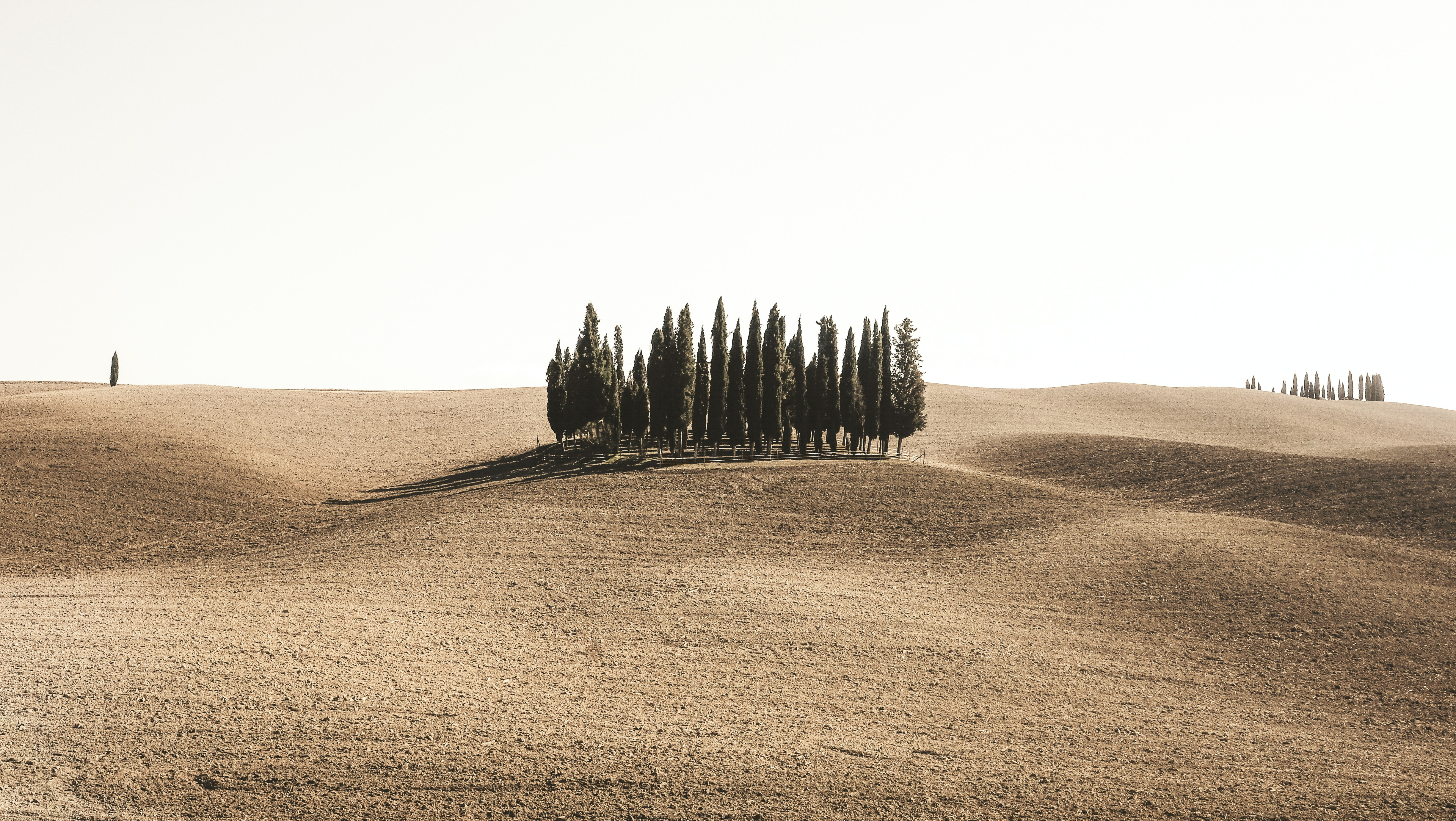 pine trees surrounded by brown field