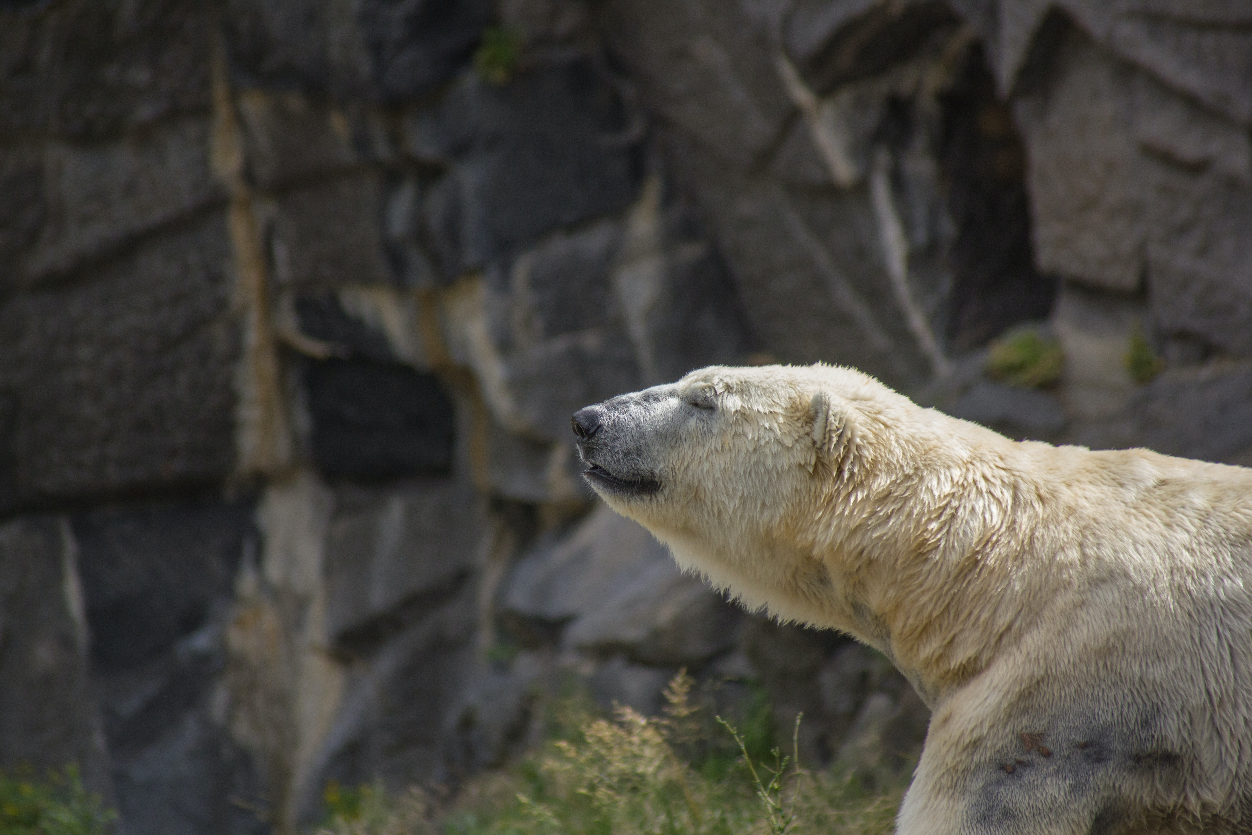 A polar bear raising its head and closing its eyes next to a rocky wall
