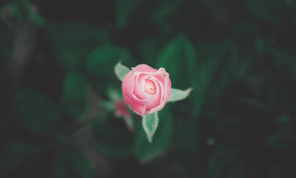 pink rose in bloom in close up photography