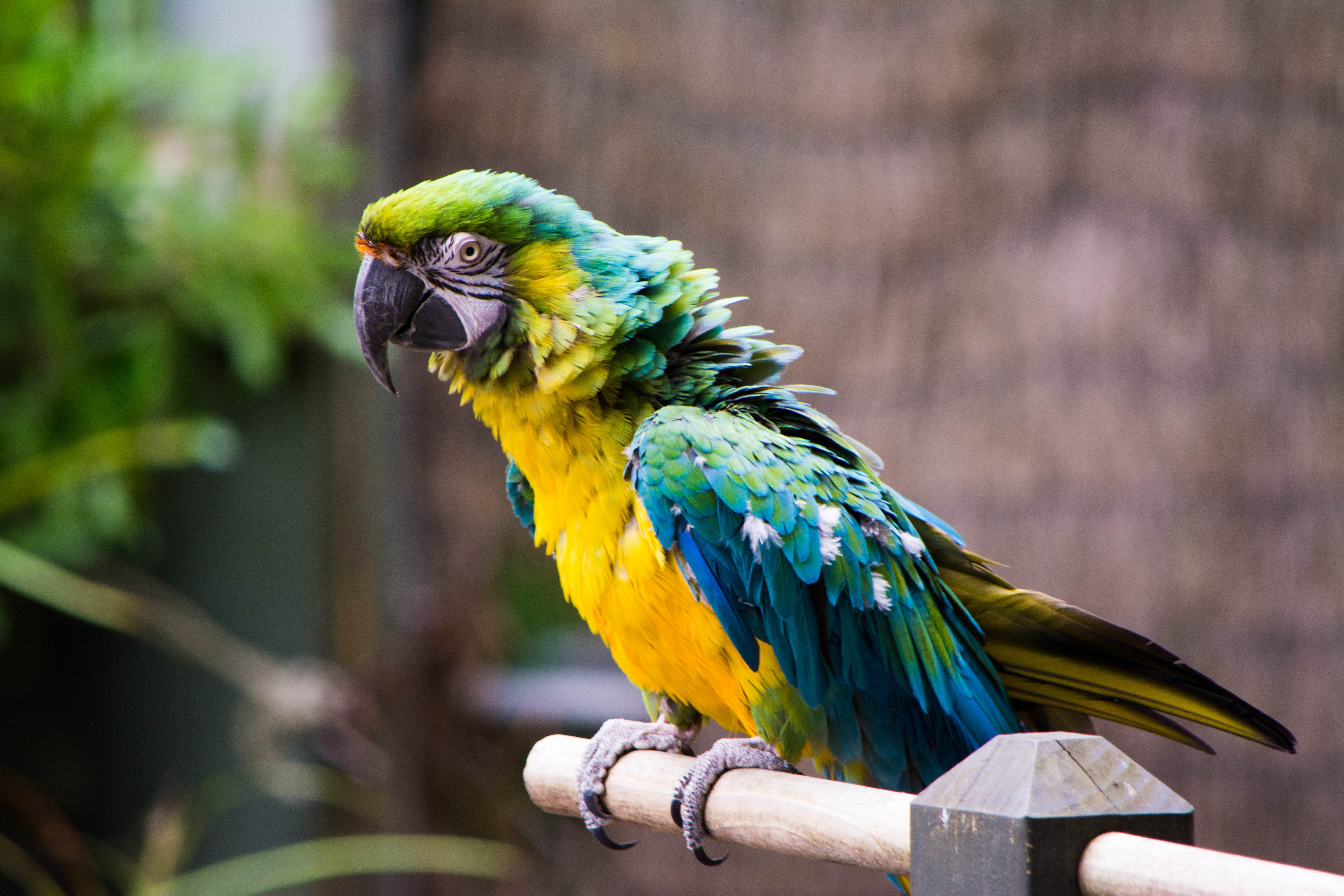 A green, blue and yellow parrot on a perch with ruffled feathers
