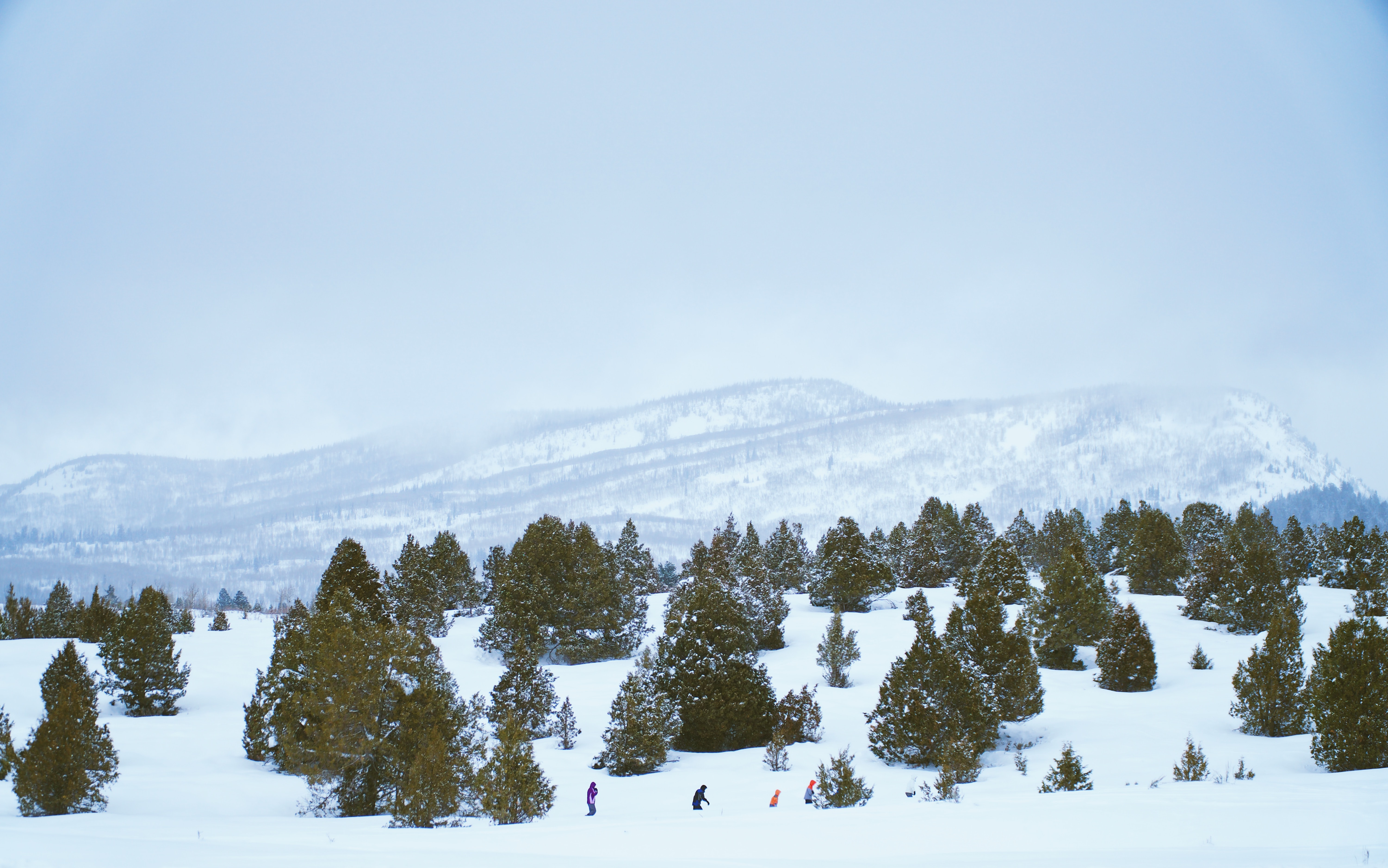 A drone shot of a spaced out forest of snow covered trees with a ski mountain in the background