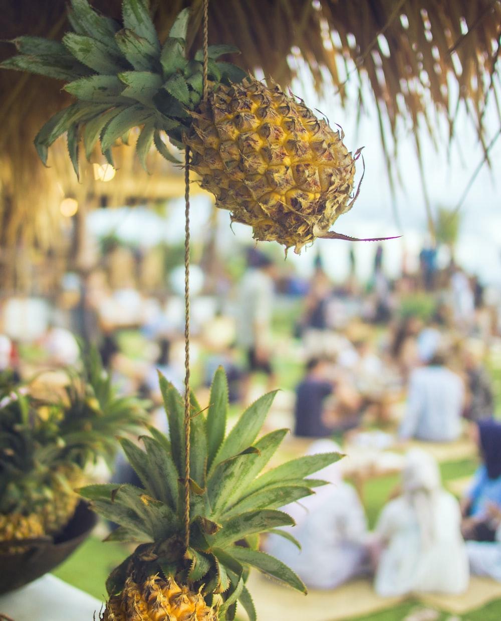 hanged pineapple fruits