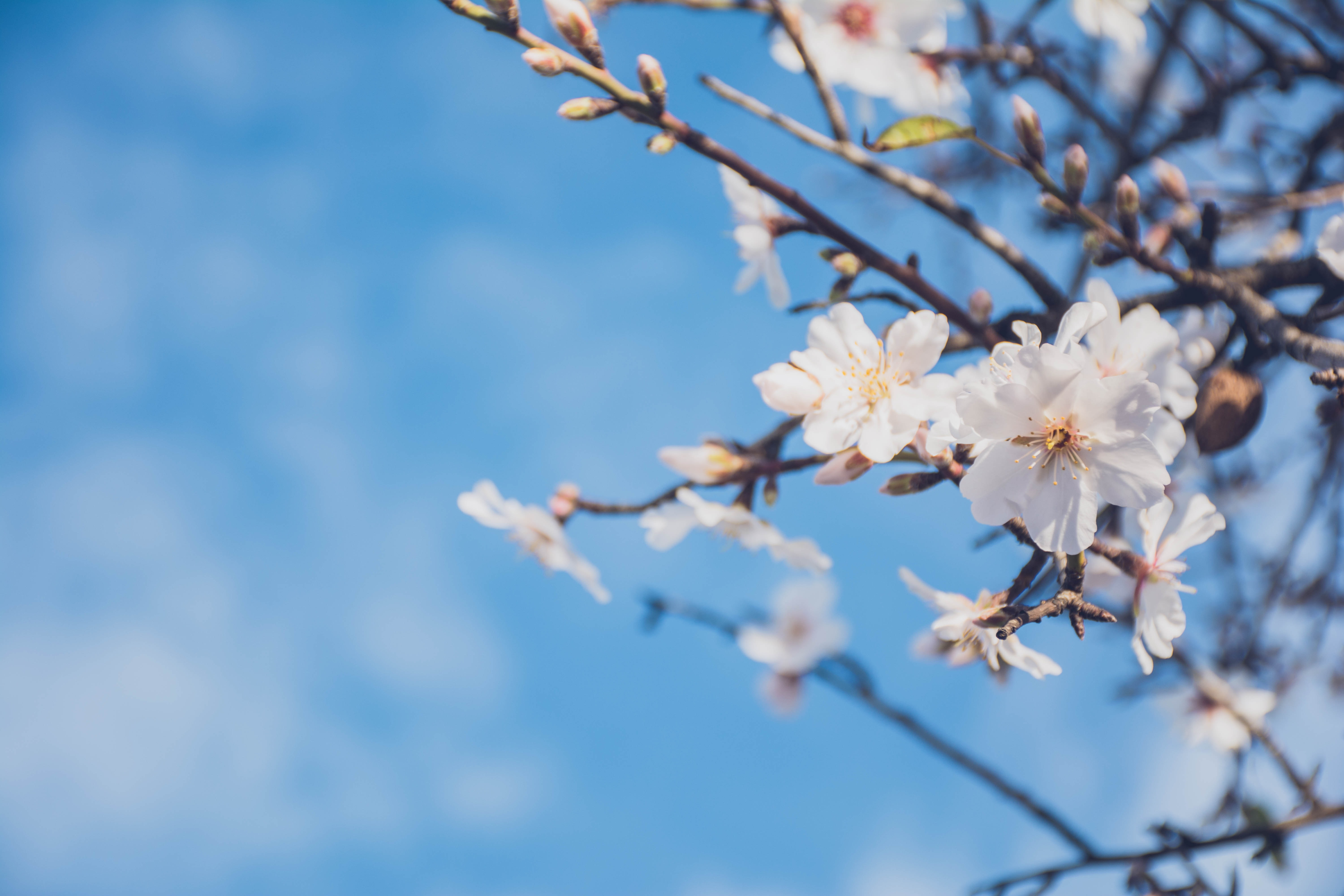 Almond tree and flower in bloom against clear blue sky in Spring, Faro District