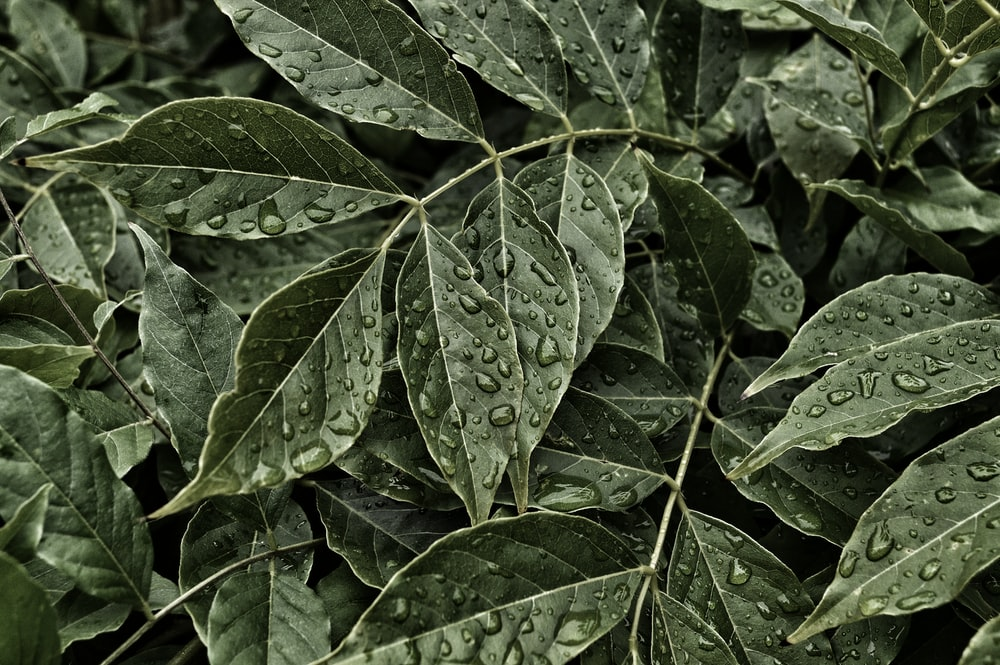 green ovate leaves with dew drops