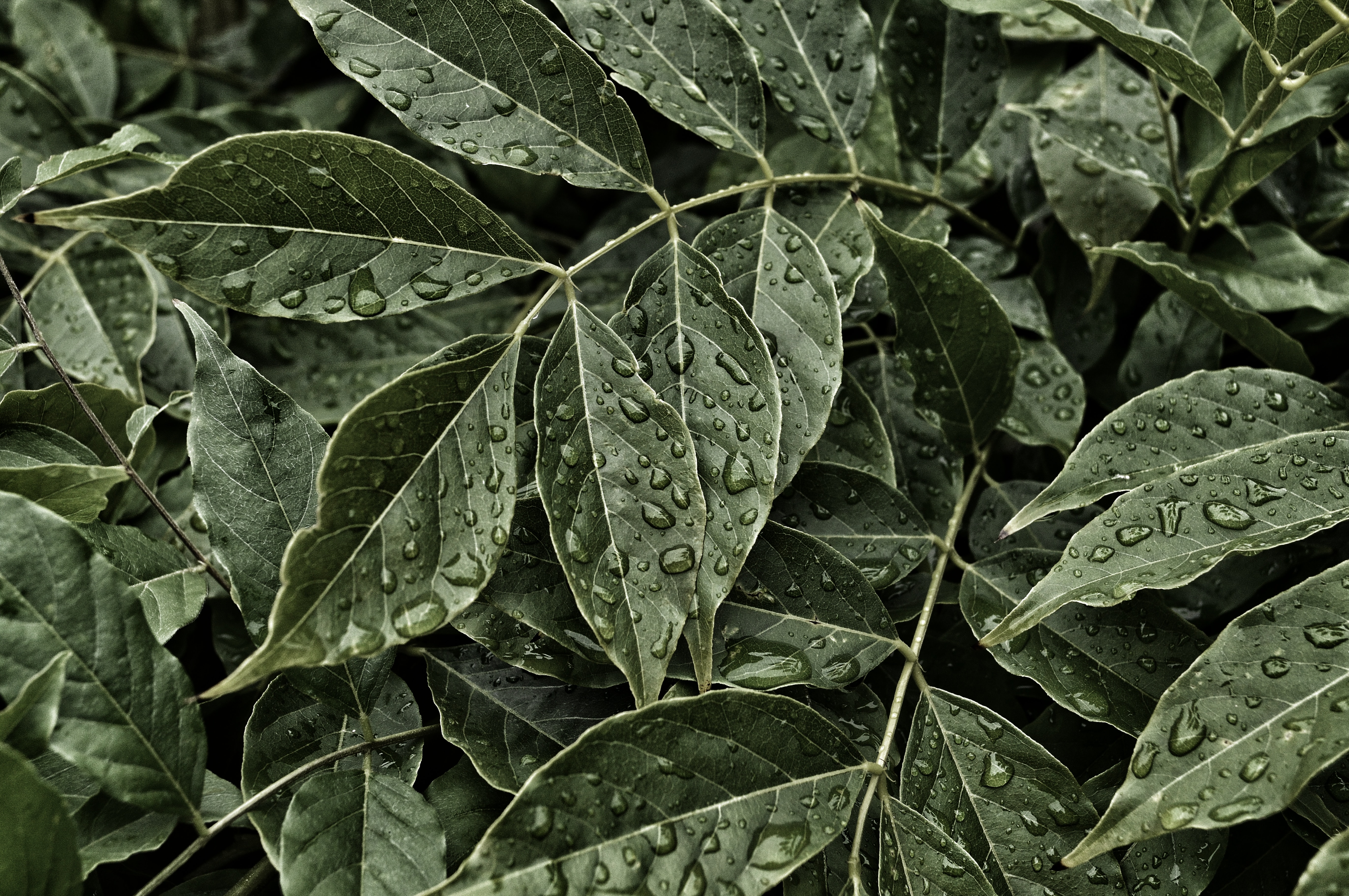 Close-up of large dewdrops on dark green leaves