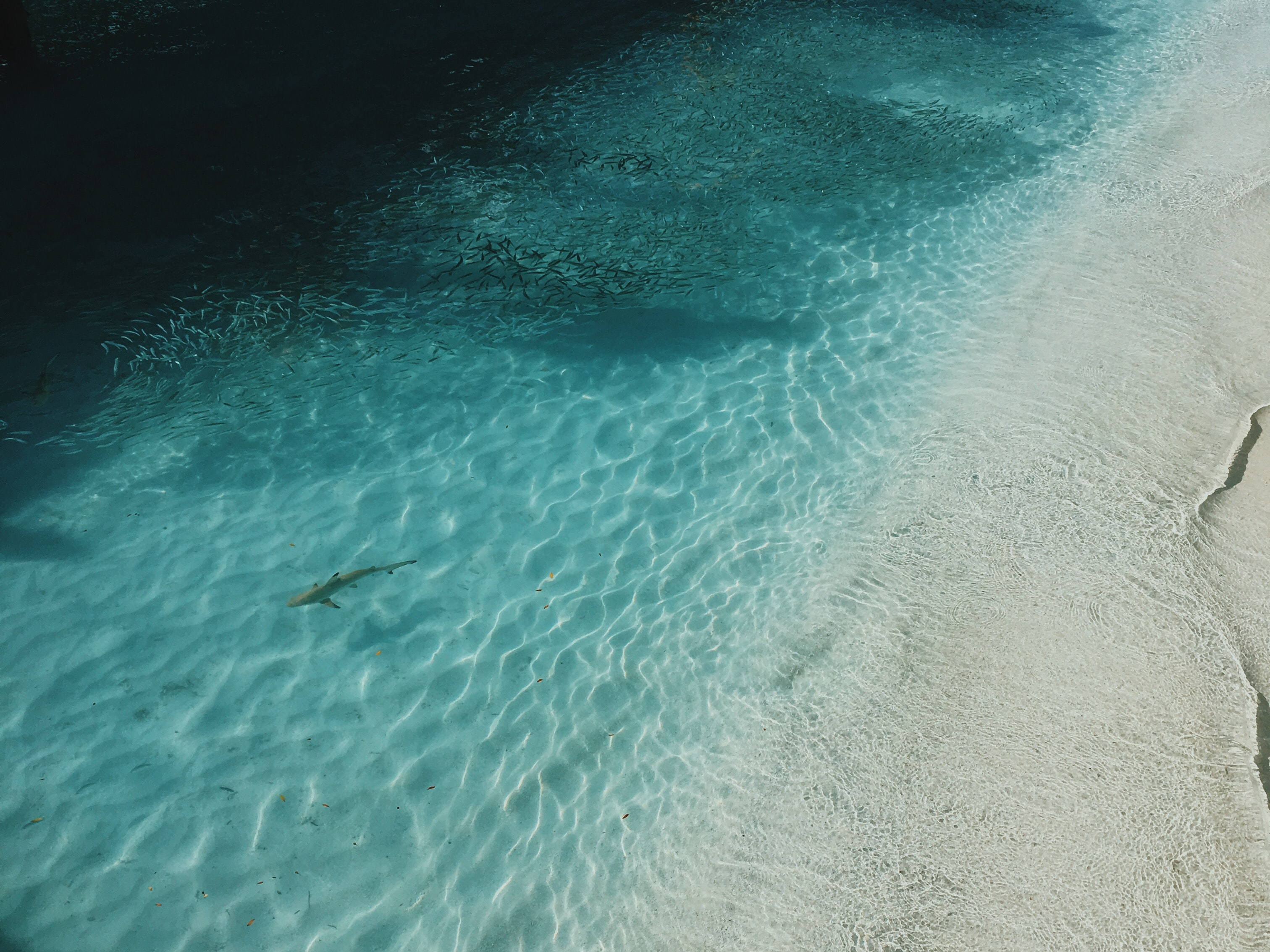 Drone view of shark swimming in clear shallow waters in Meeru Island Resort & Spa sand beach