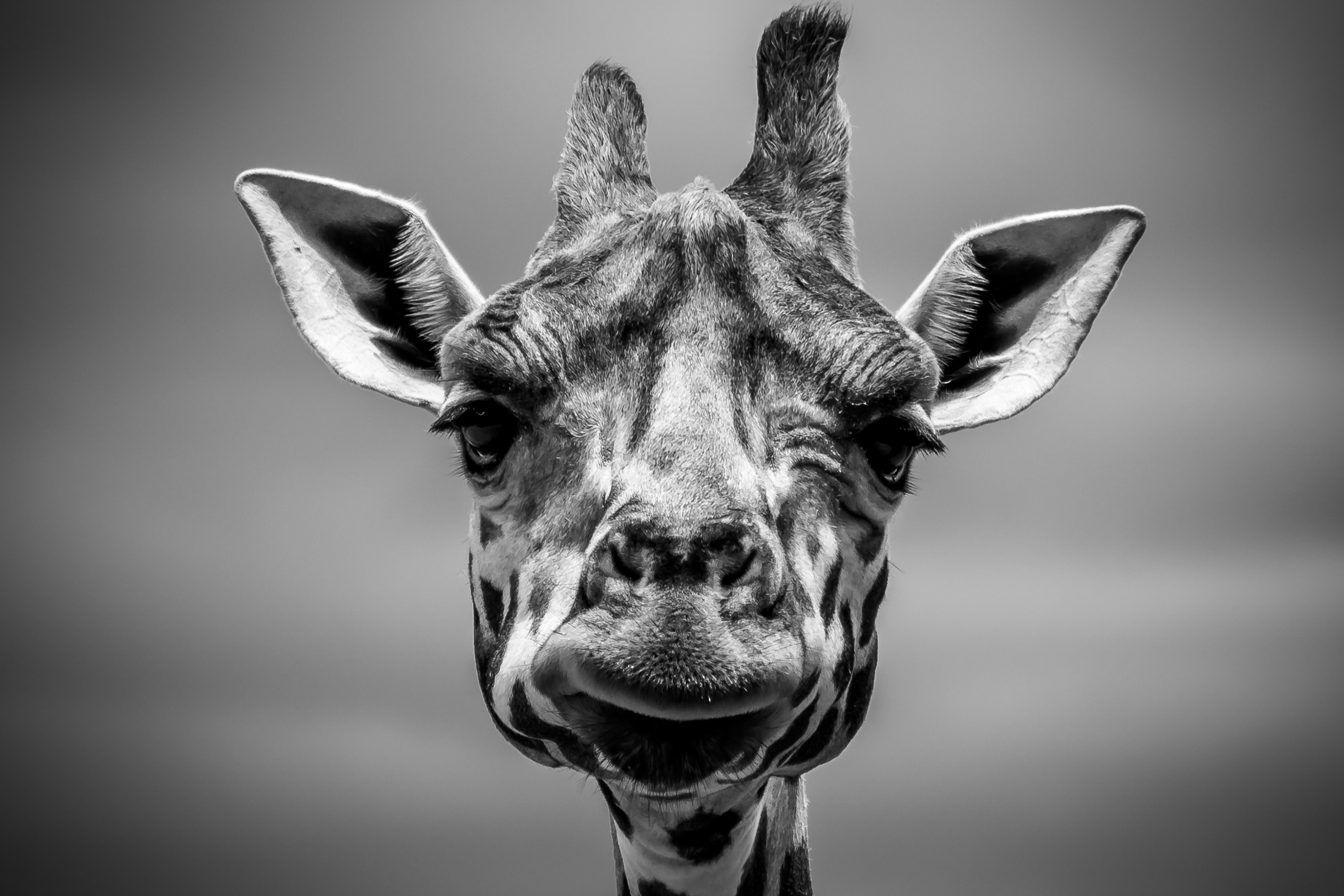Black and white macro of giraffe head