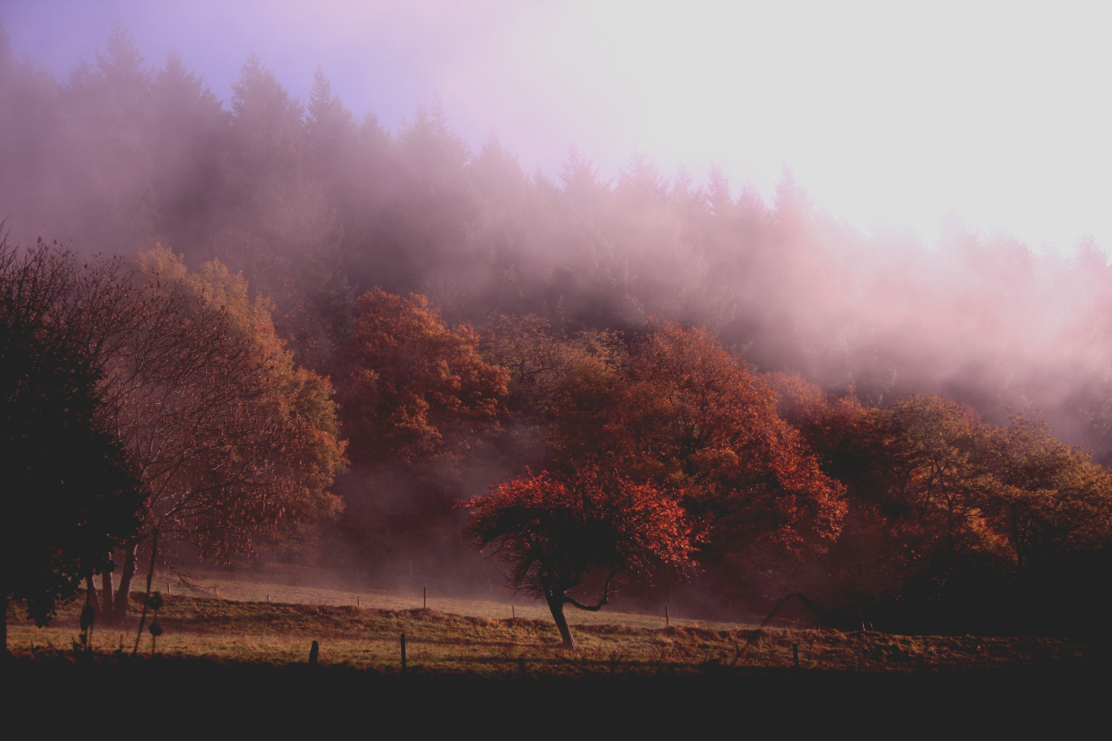 Orange-leaved autumn trees at the edge of a forest wreathed in a pink-hued mist