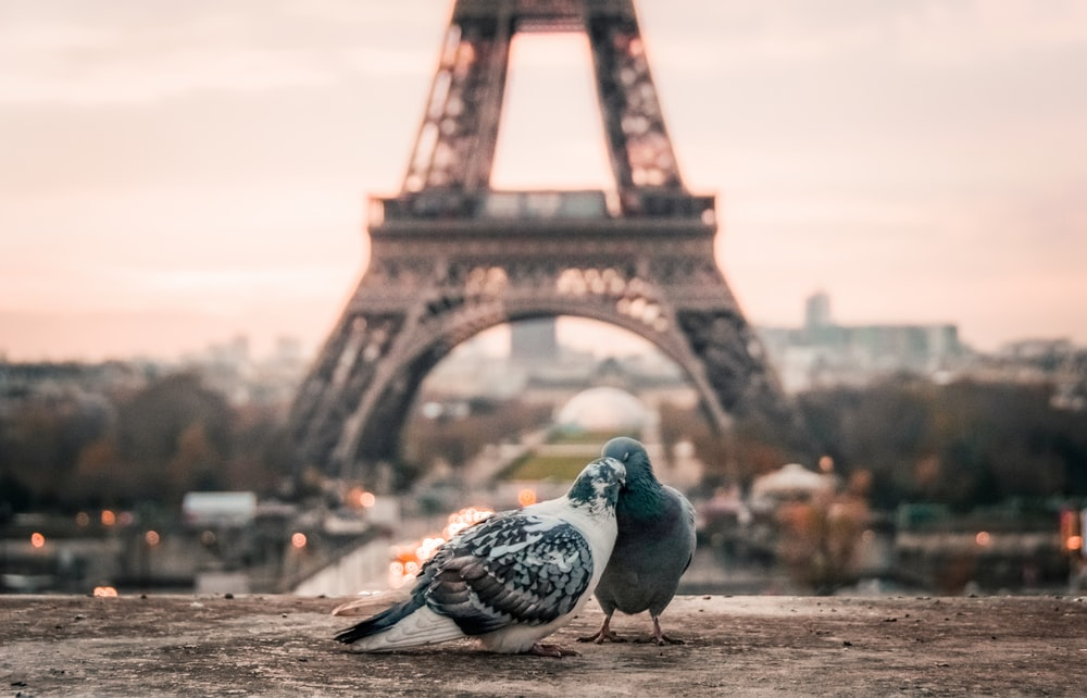 Two pigeons nuzzle on a wall in the Trocadéro, the Eiffel Tower visible in the background