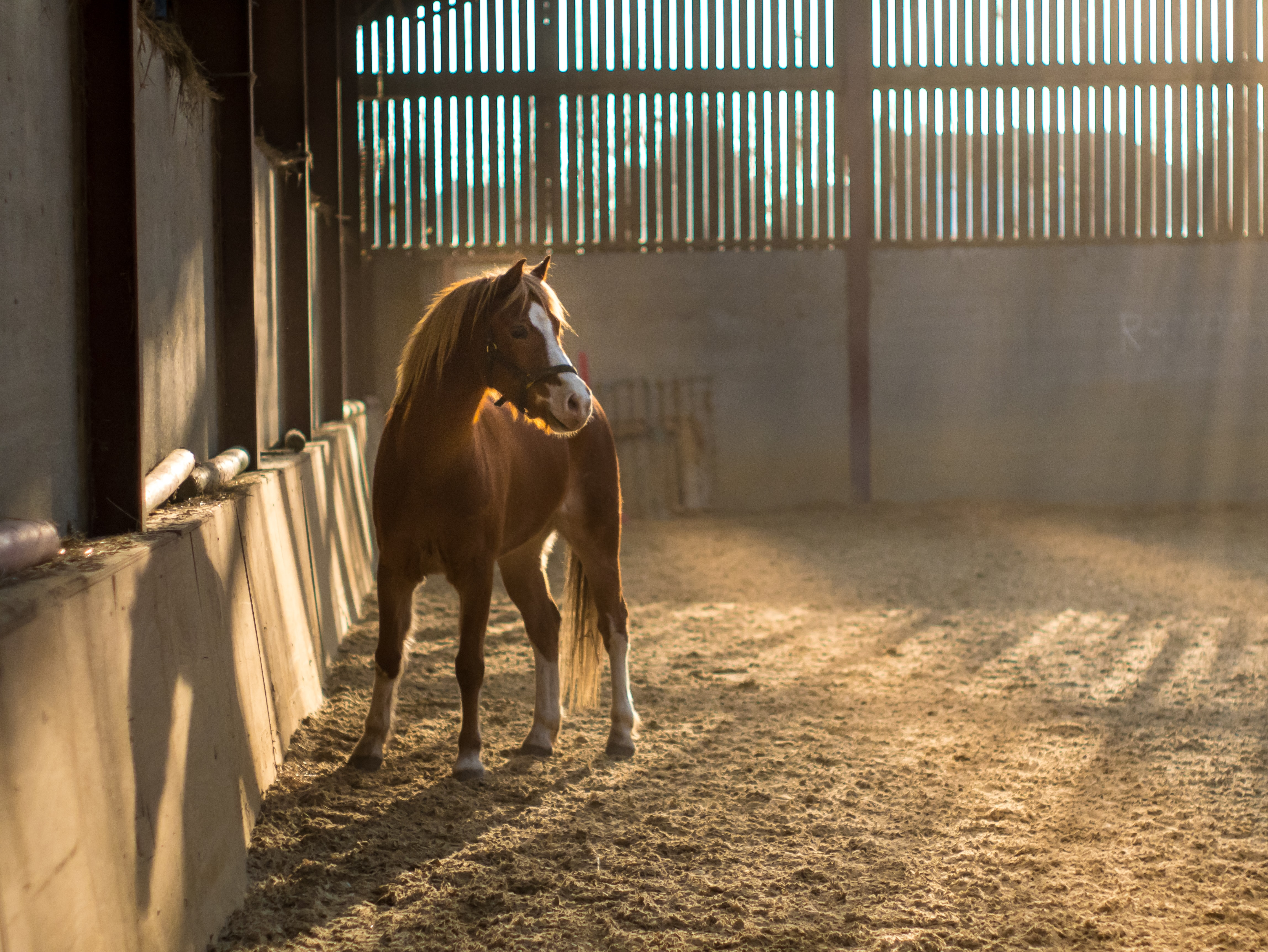 A foal with a bridle in a barn with sun shining through gaps in the wooden wall