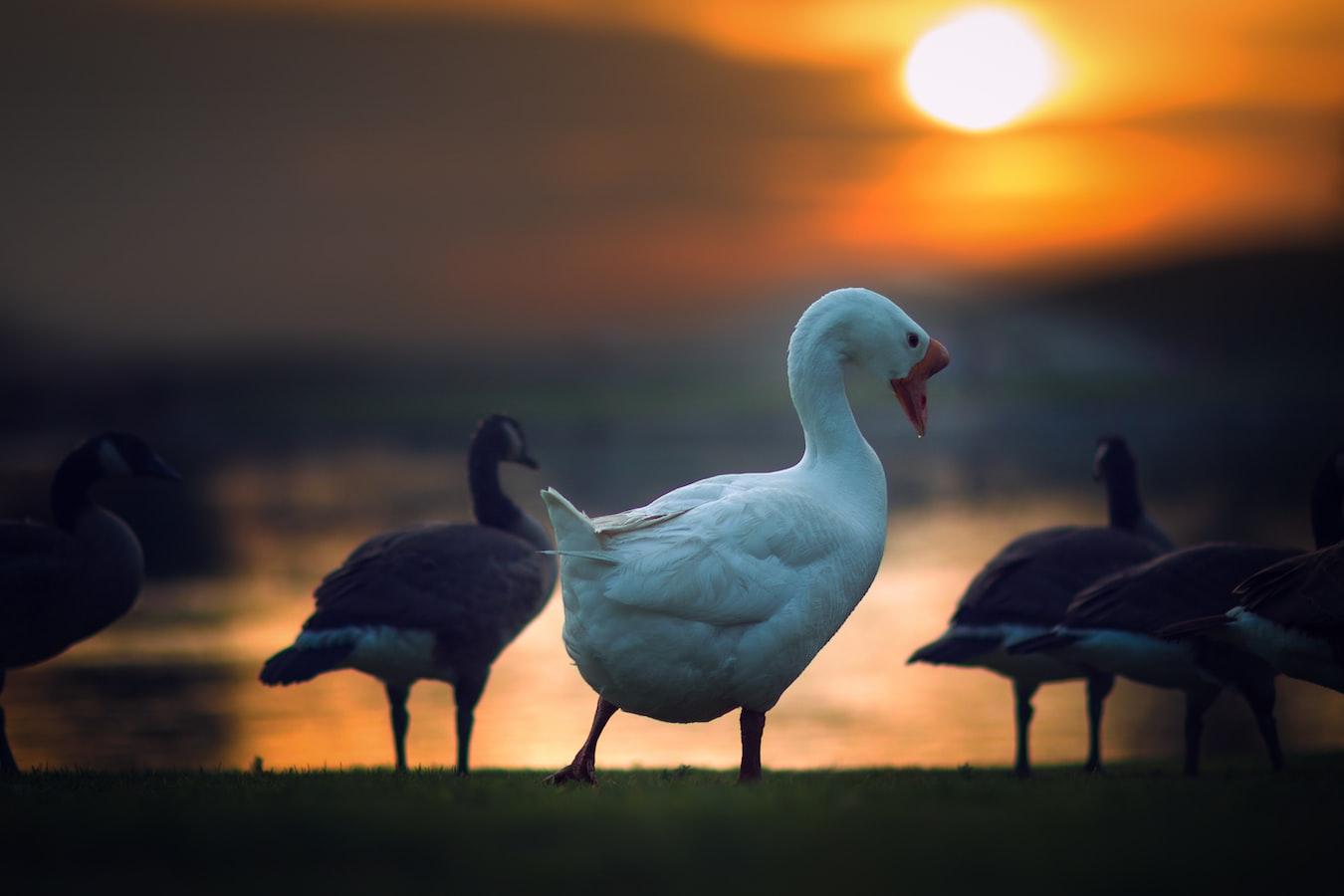 weeder geese
