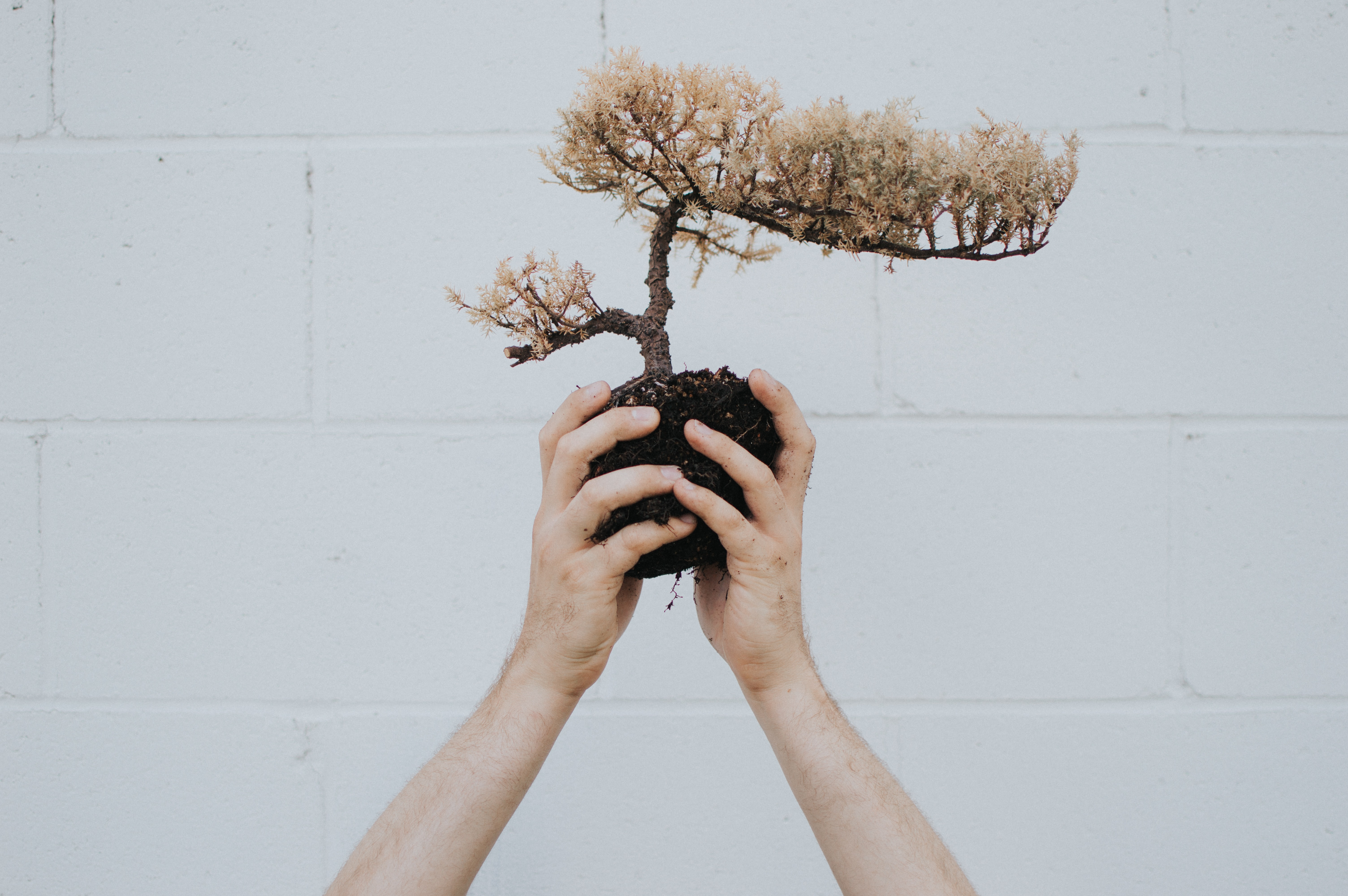 person holding brown leafed plant