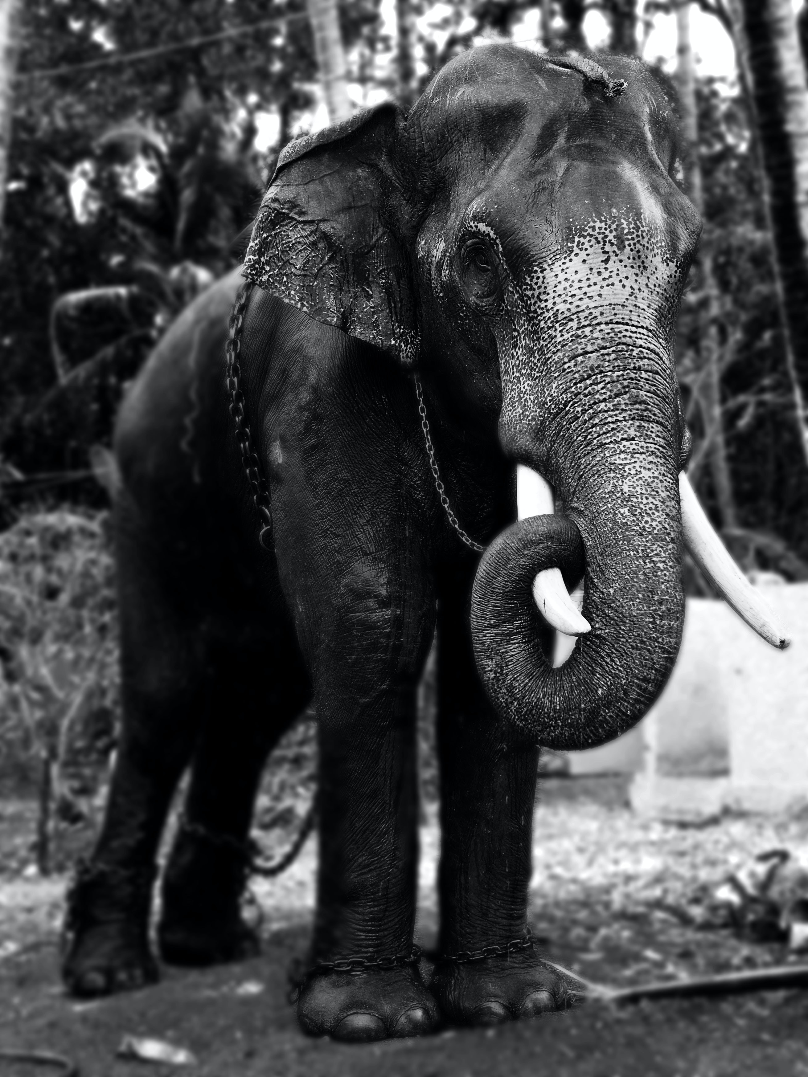 grayscale photography of an elephant