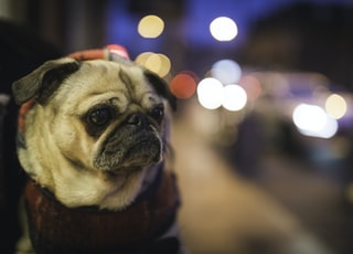 selective focus photography of fawn pug