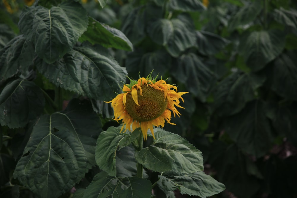 sunflower with green leaves