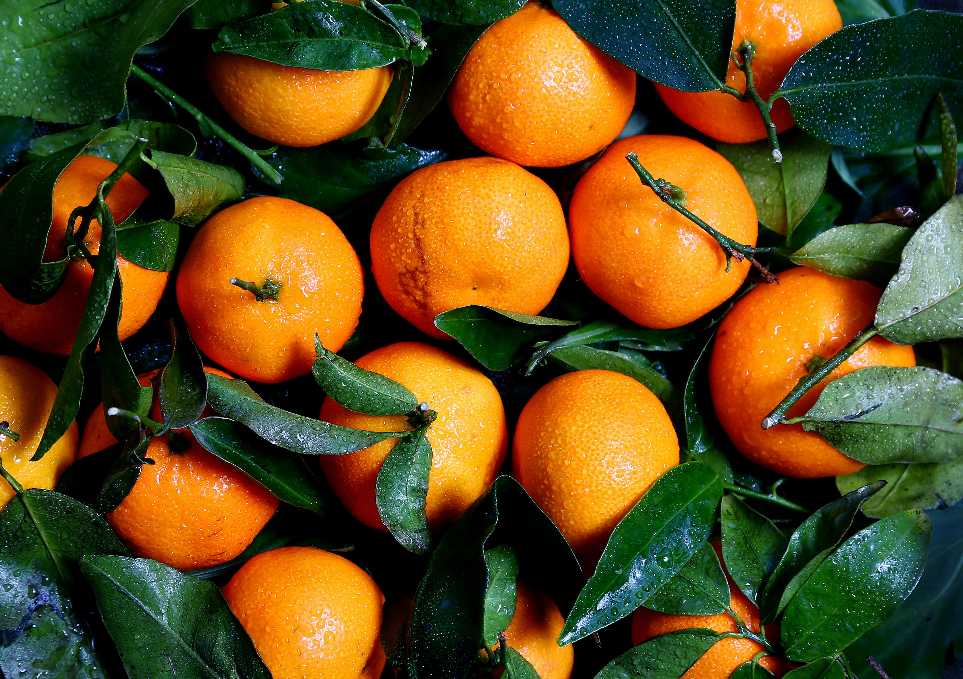 Washed oranges and green leaves freshly picked