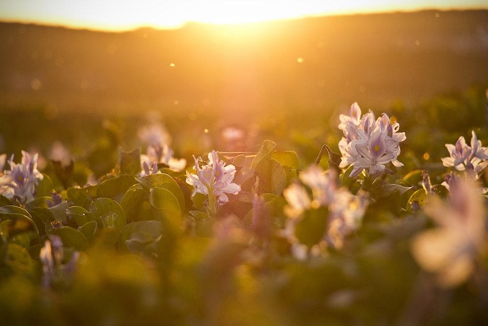 tilt shift lens photography of flower field during sunset