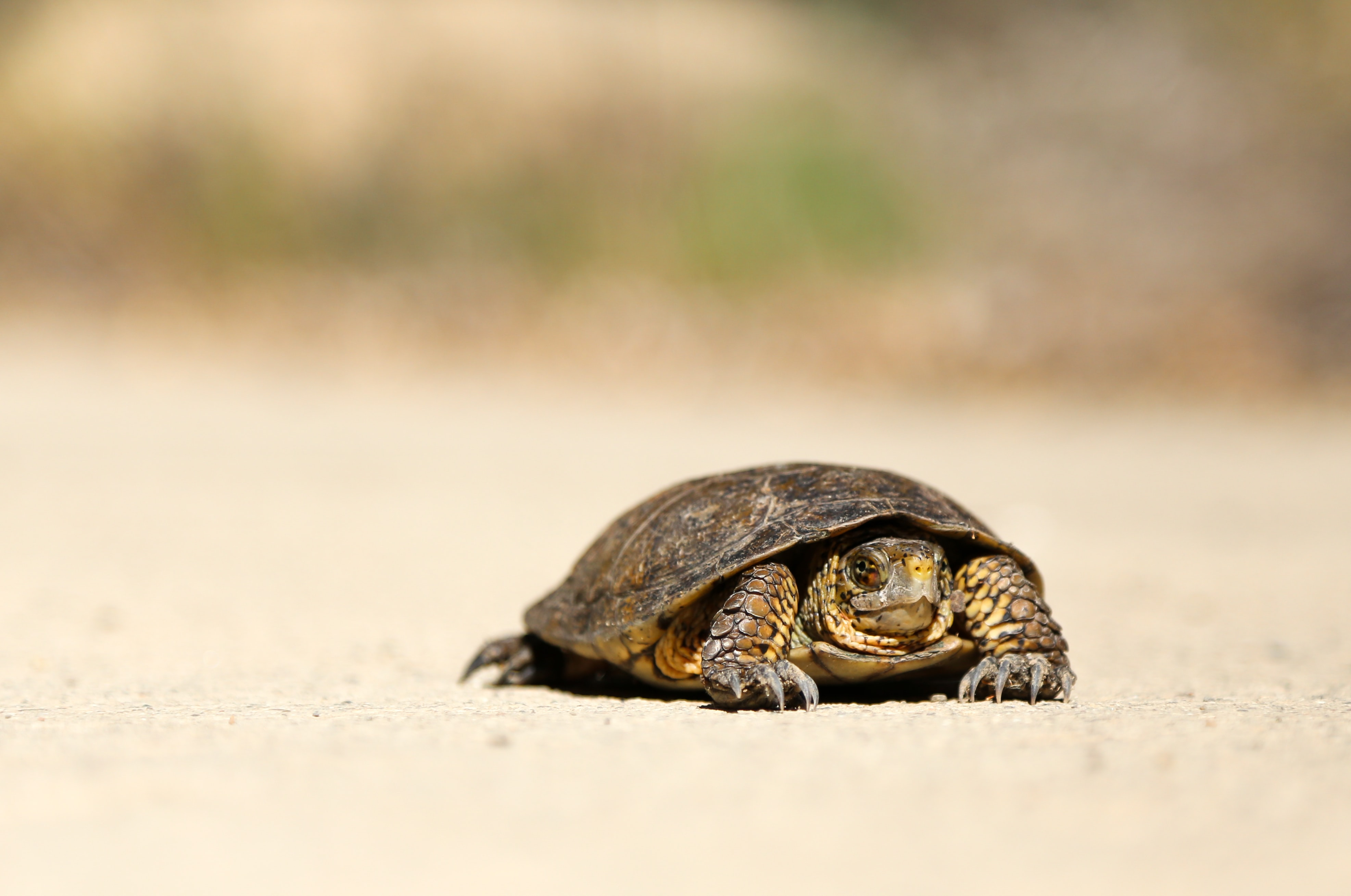 A small turtle sitting on the sandy beach in Santa Barbara