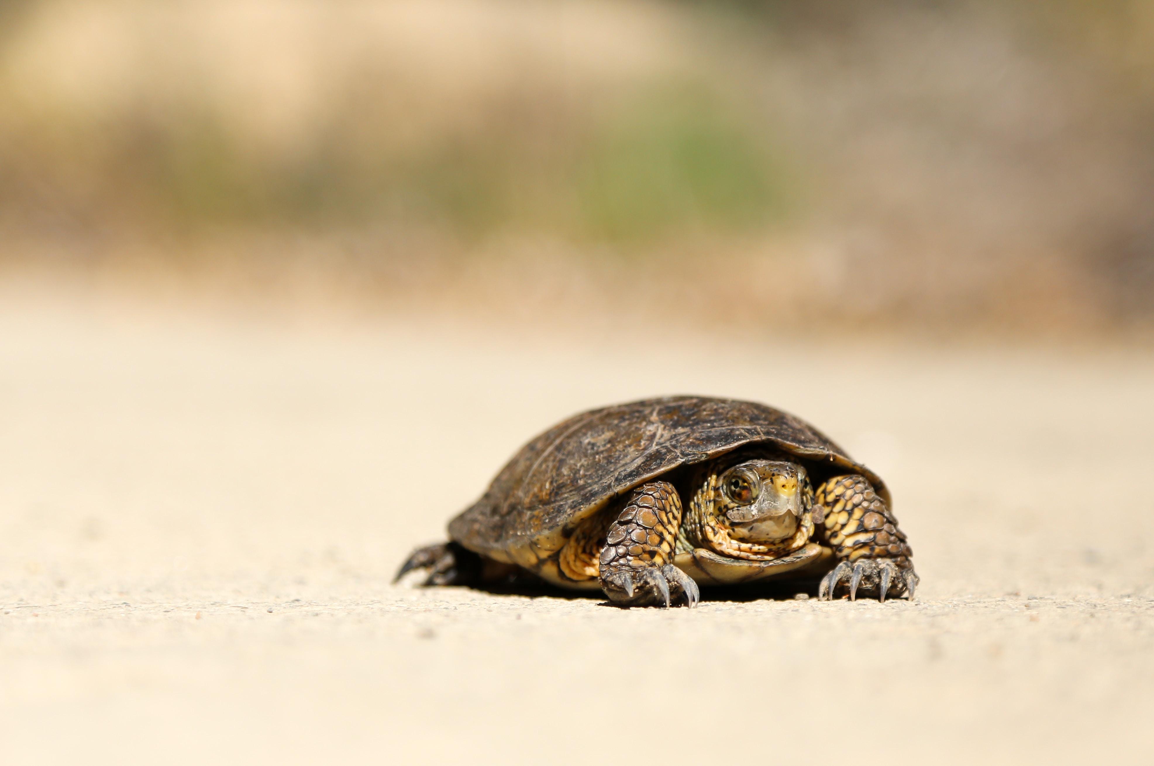 A small turtle sitting on the sandy beach in Santa Barbara