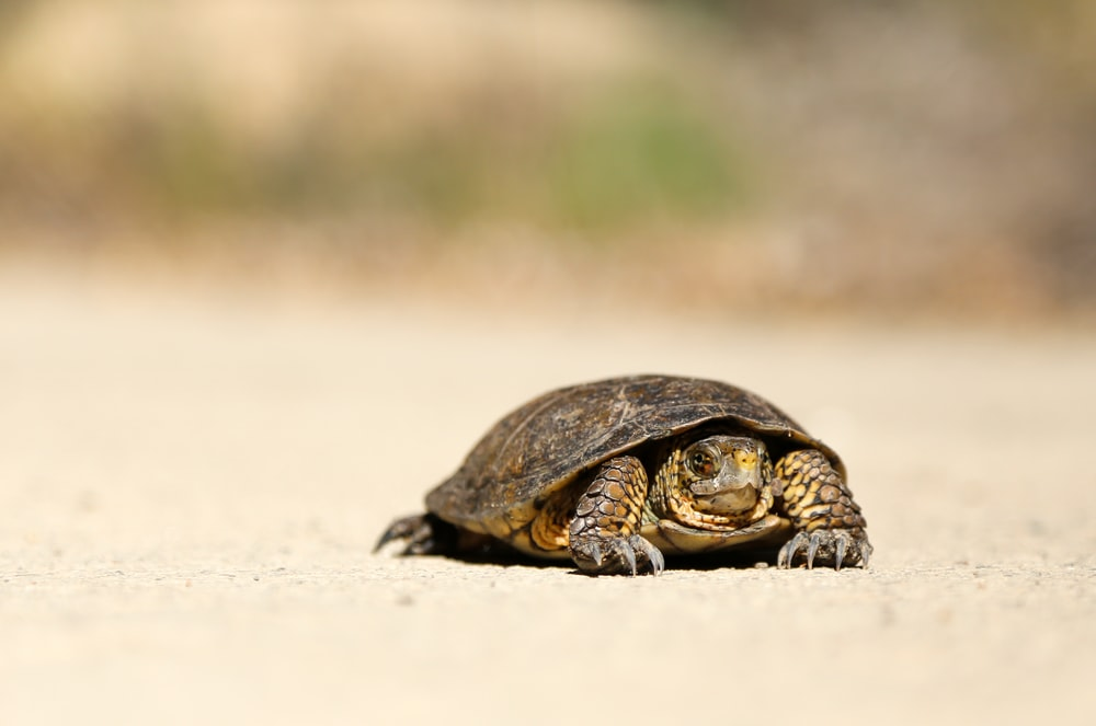 brown tortoise on brown sand