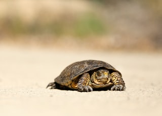 brown tortoise on brown sand