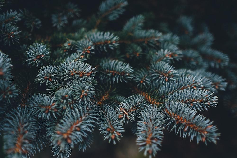closeup photo of gray pine tree