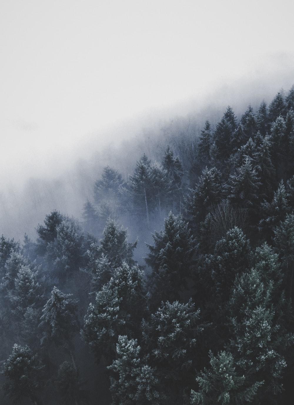 wide angle photo of pine trees