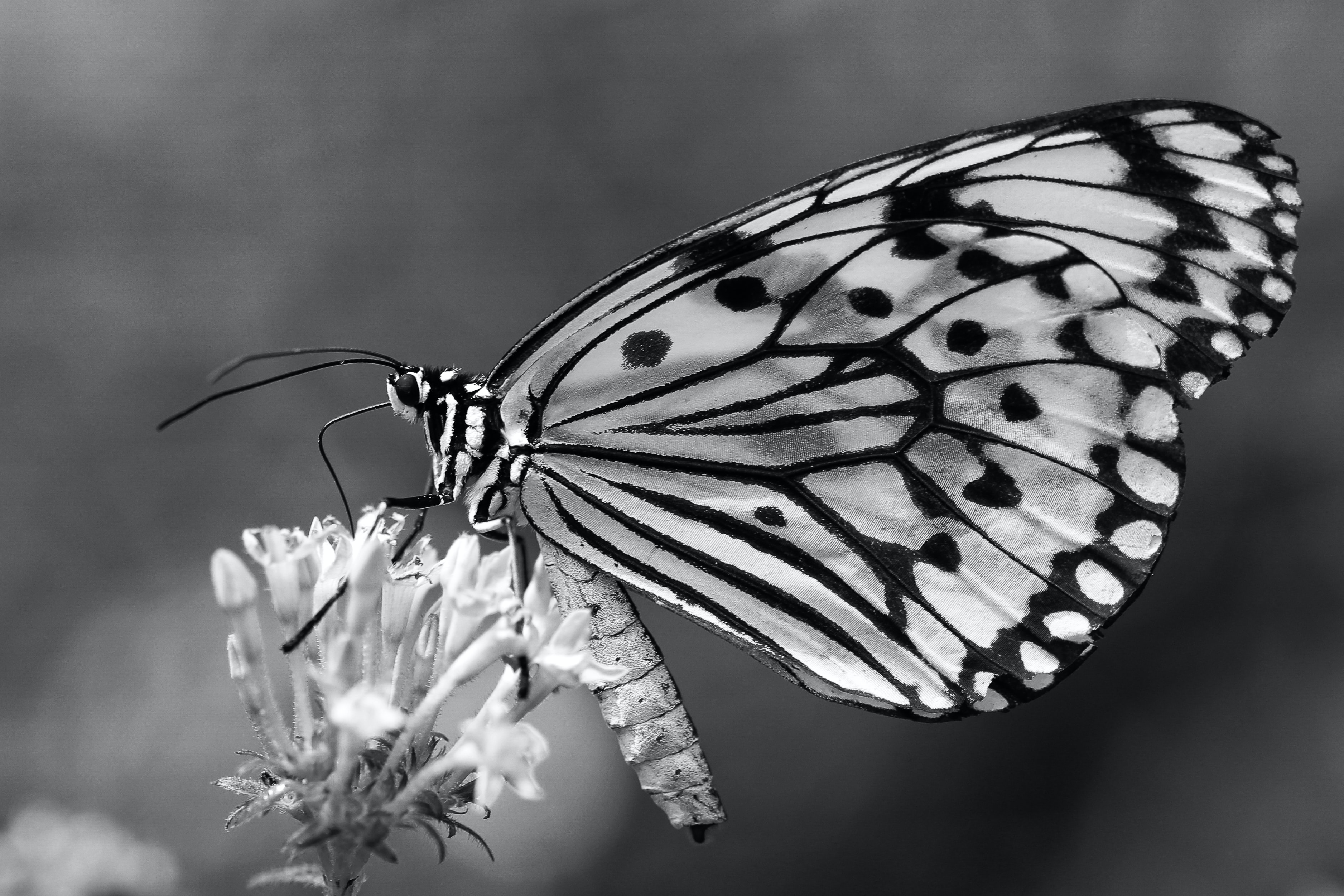 Black and white photo of a butterfly on a flower.