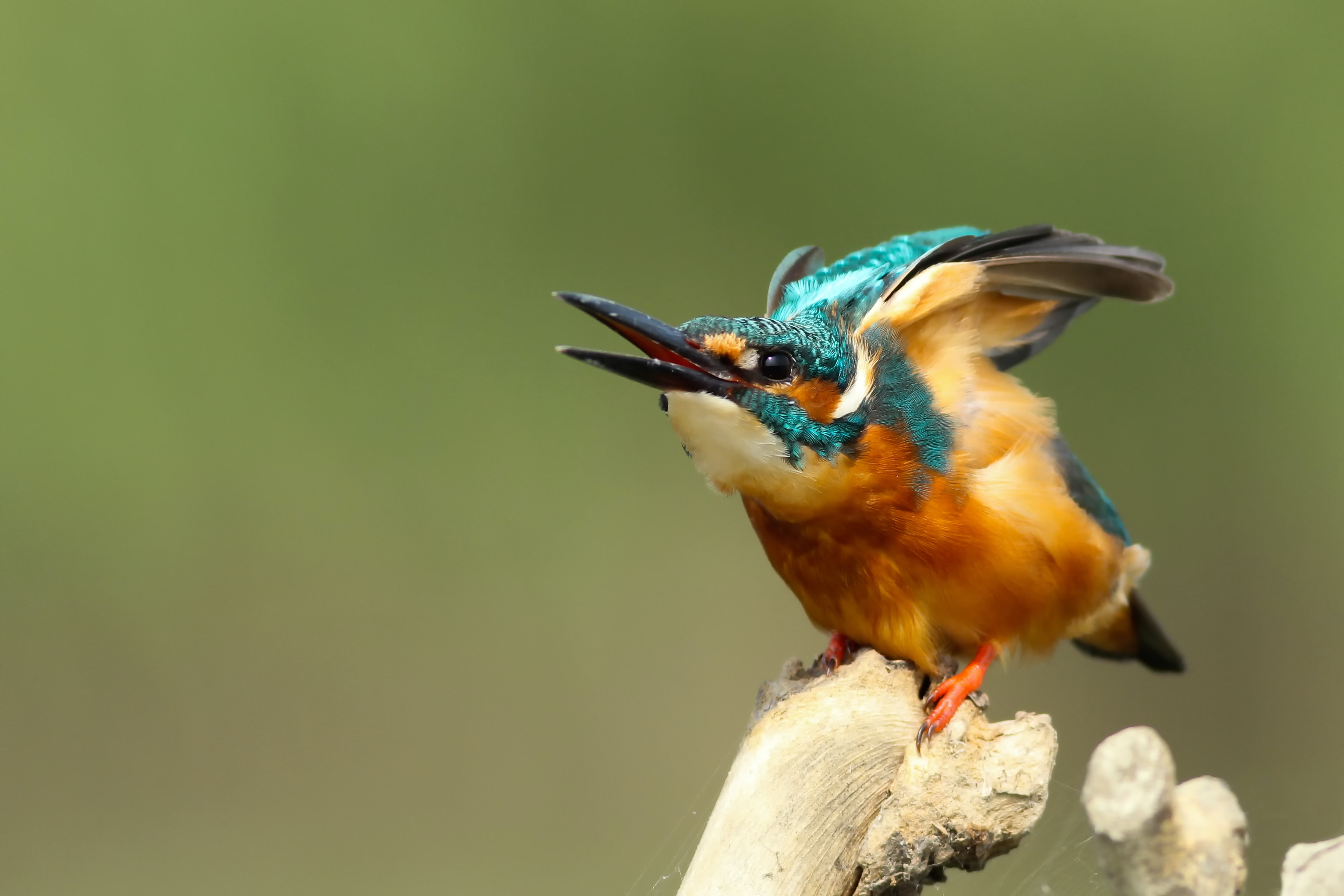 A kingfisher bird with its beak open about to take flight perched on the edge of a branch