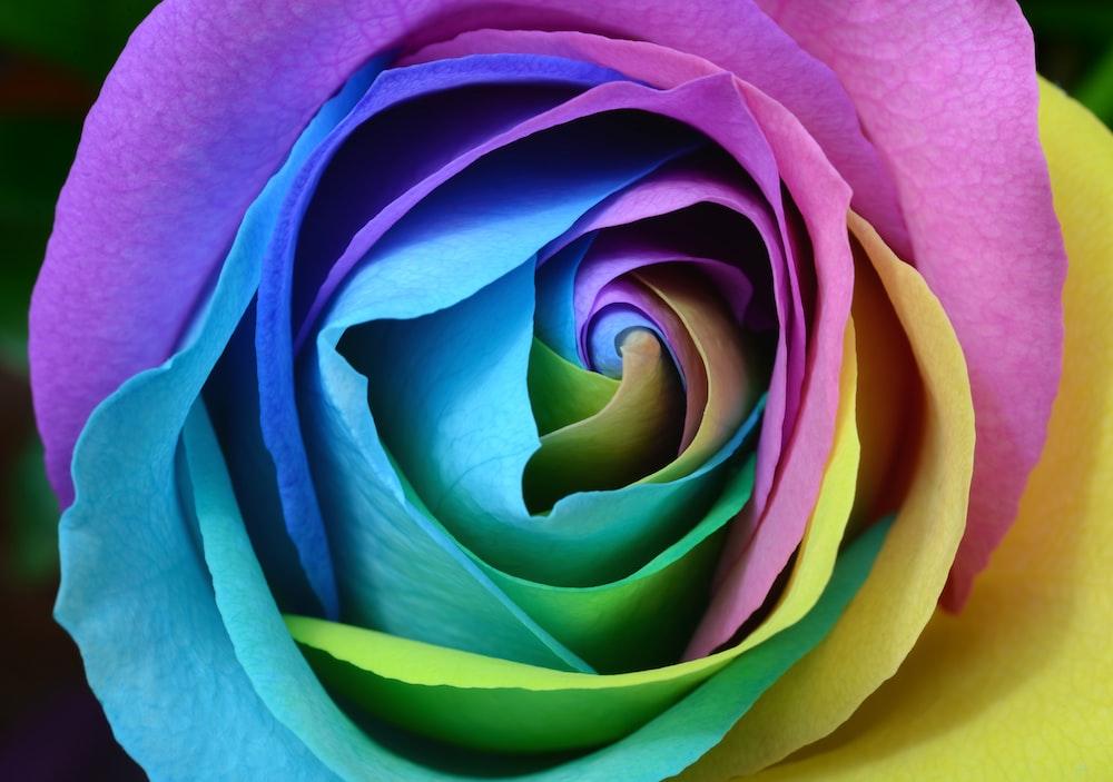 multicolored rose flower photo