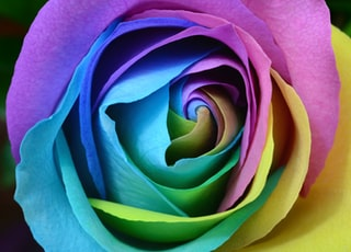 multicolored rose flower photo