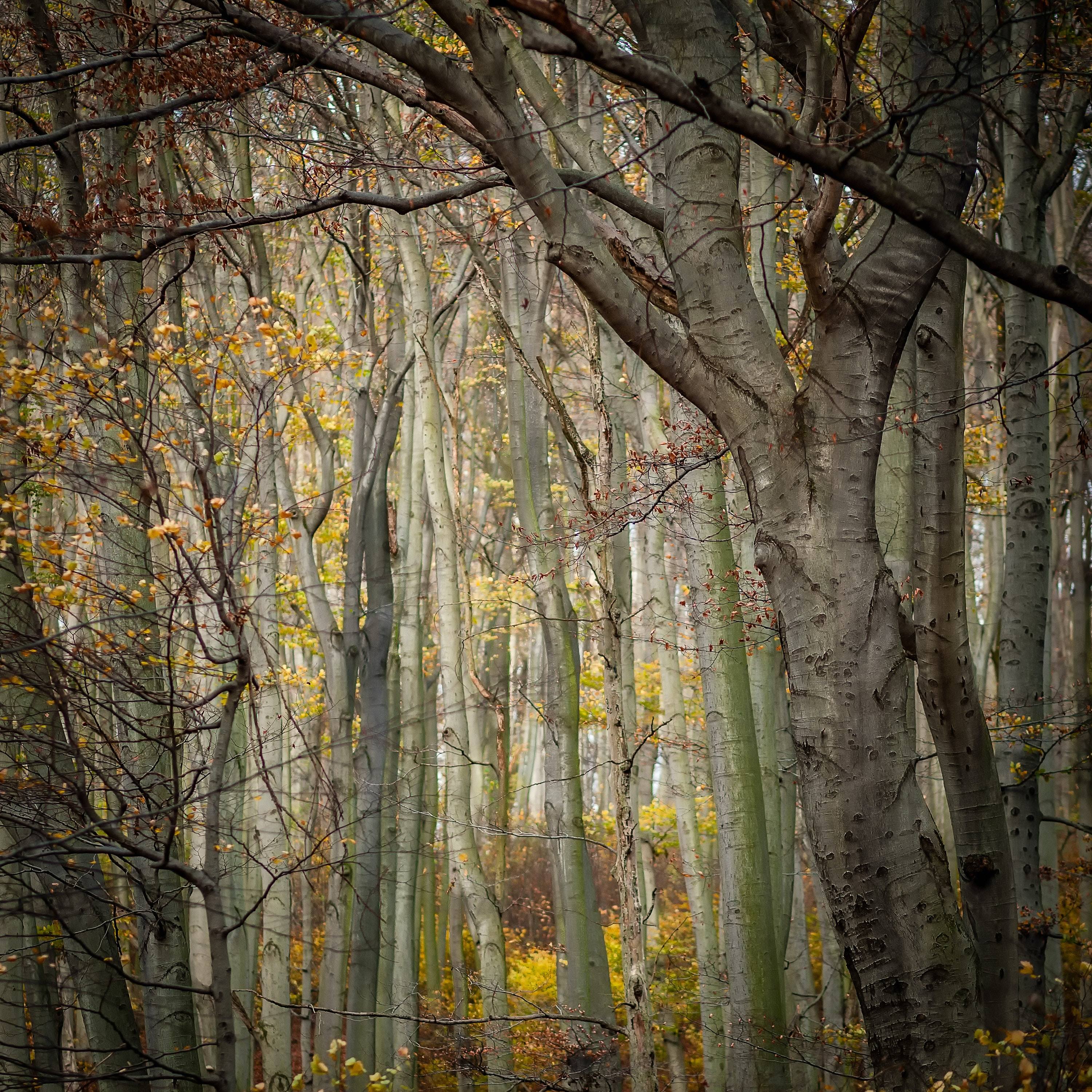 A view inside a forest of leafless trees.