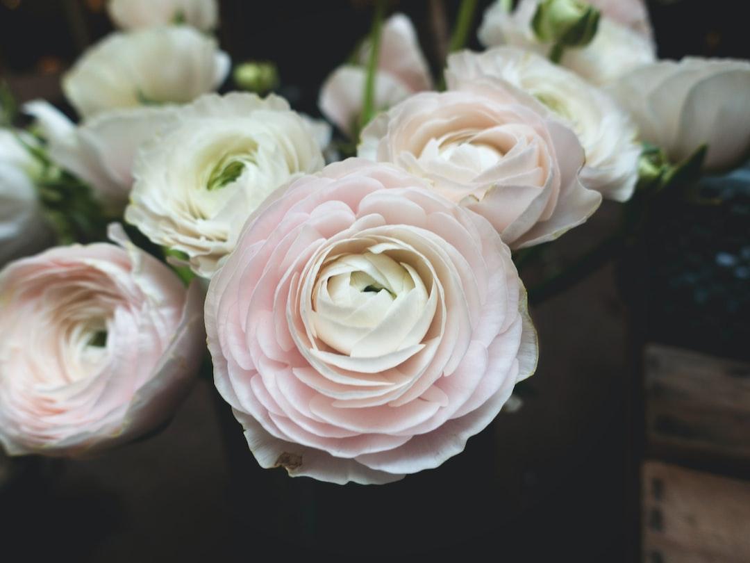 Delicate camellia flowers