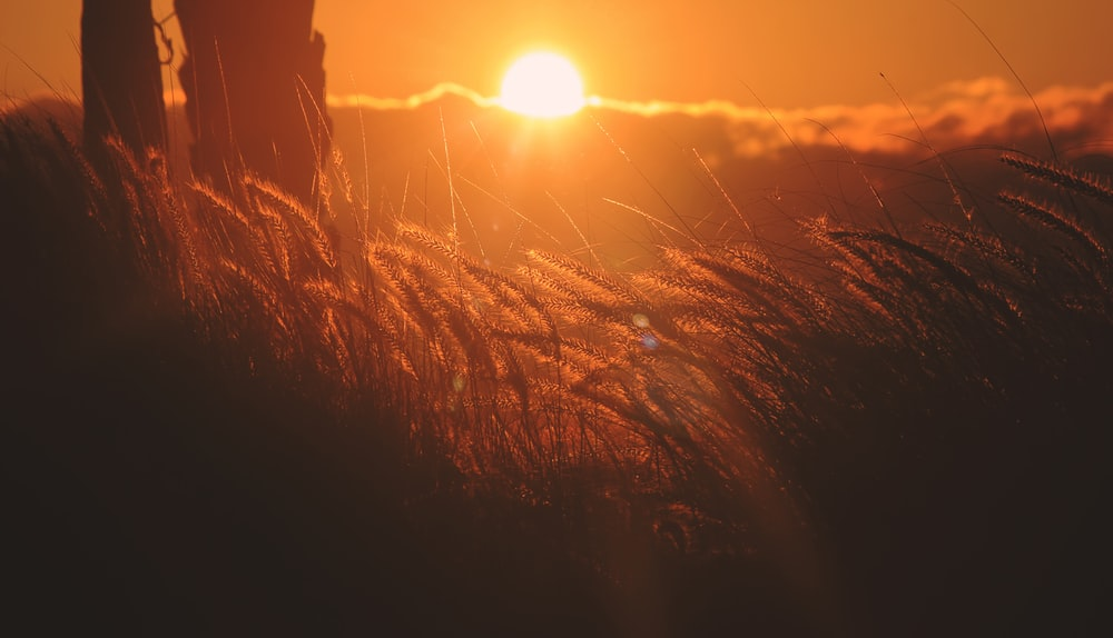 sun setting over the grass
