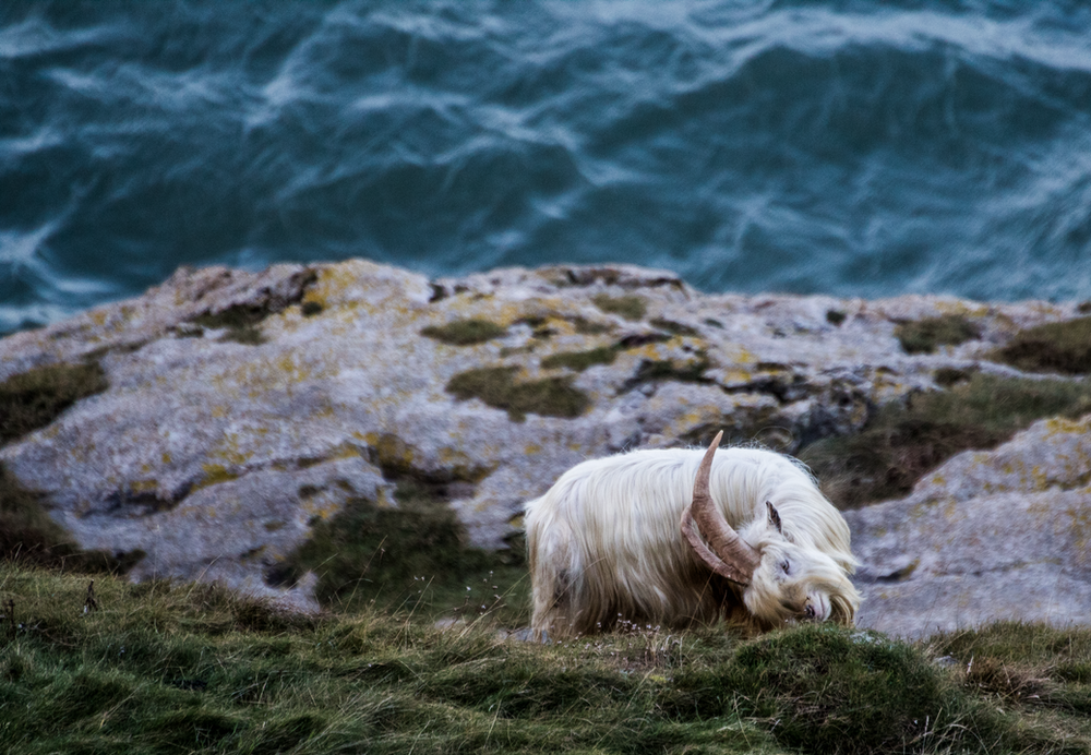 white goat near body of water at daytime