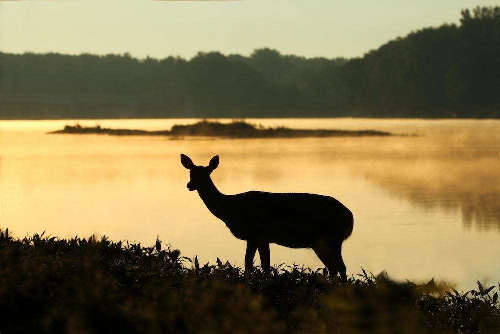 silhouette of deer near lake