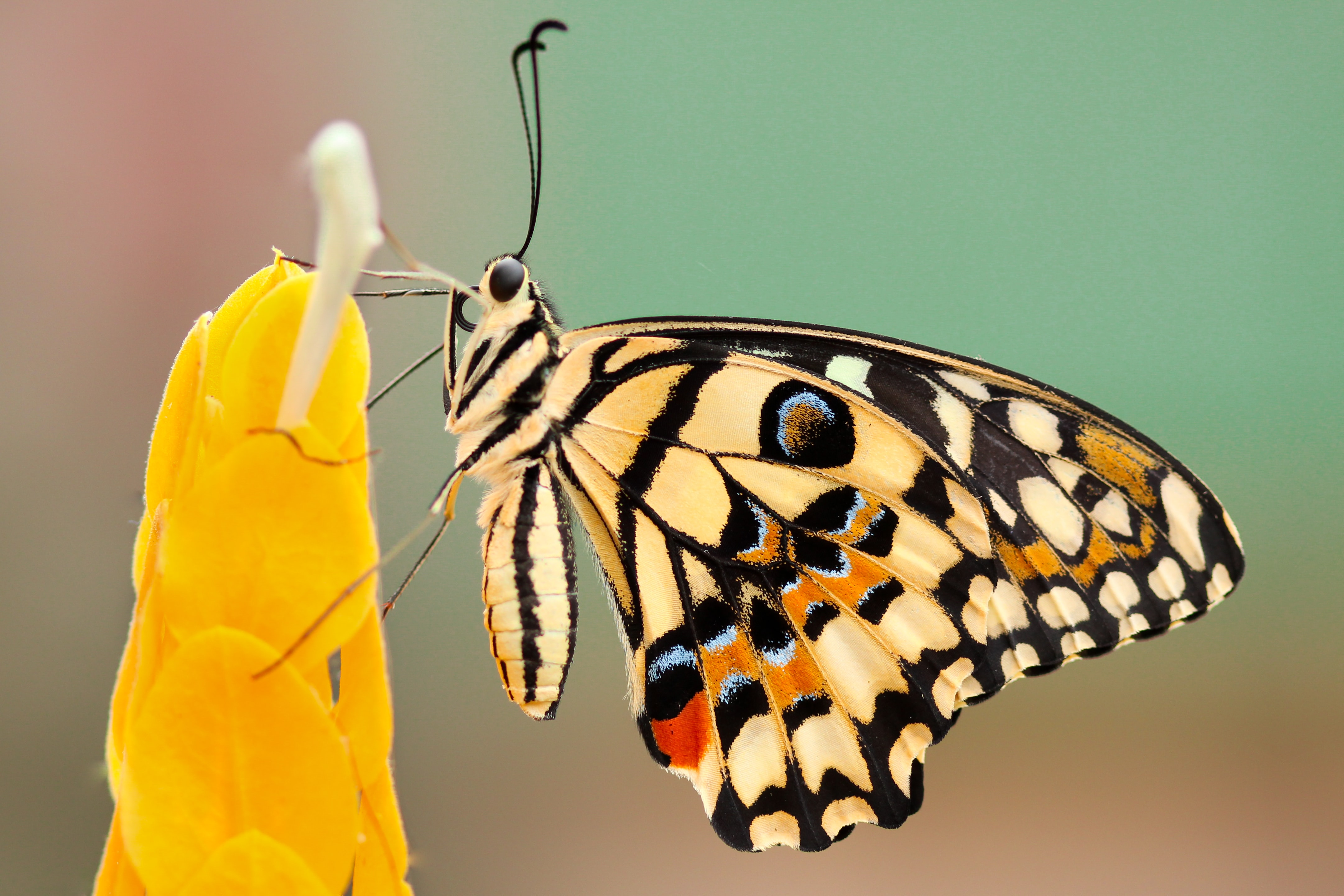 A butterfly feeding on a tall yellow flower