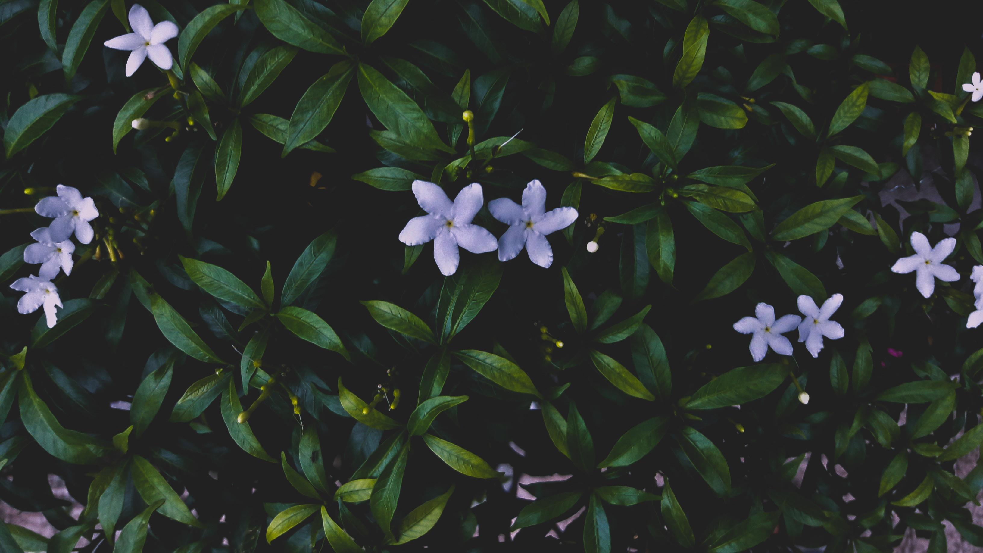 An overhead shot of white woodruff flowers