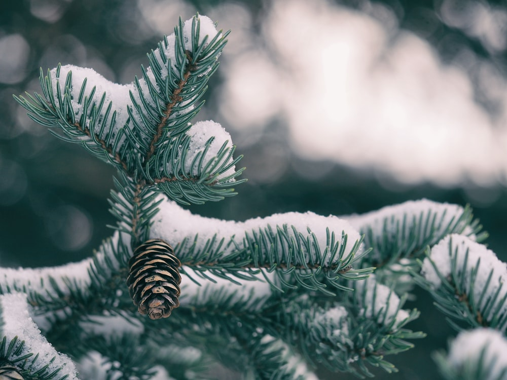 green pine tree with pine cone covered by snow