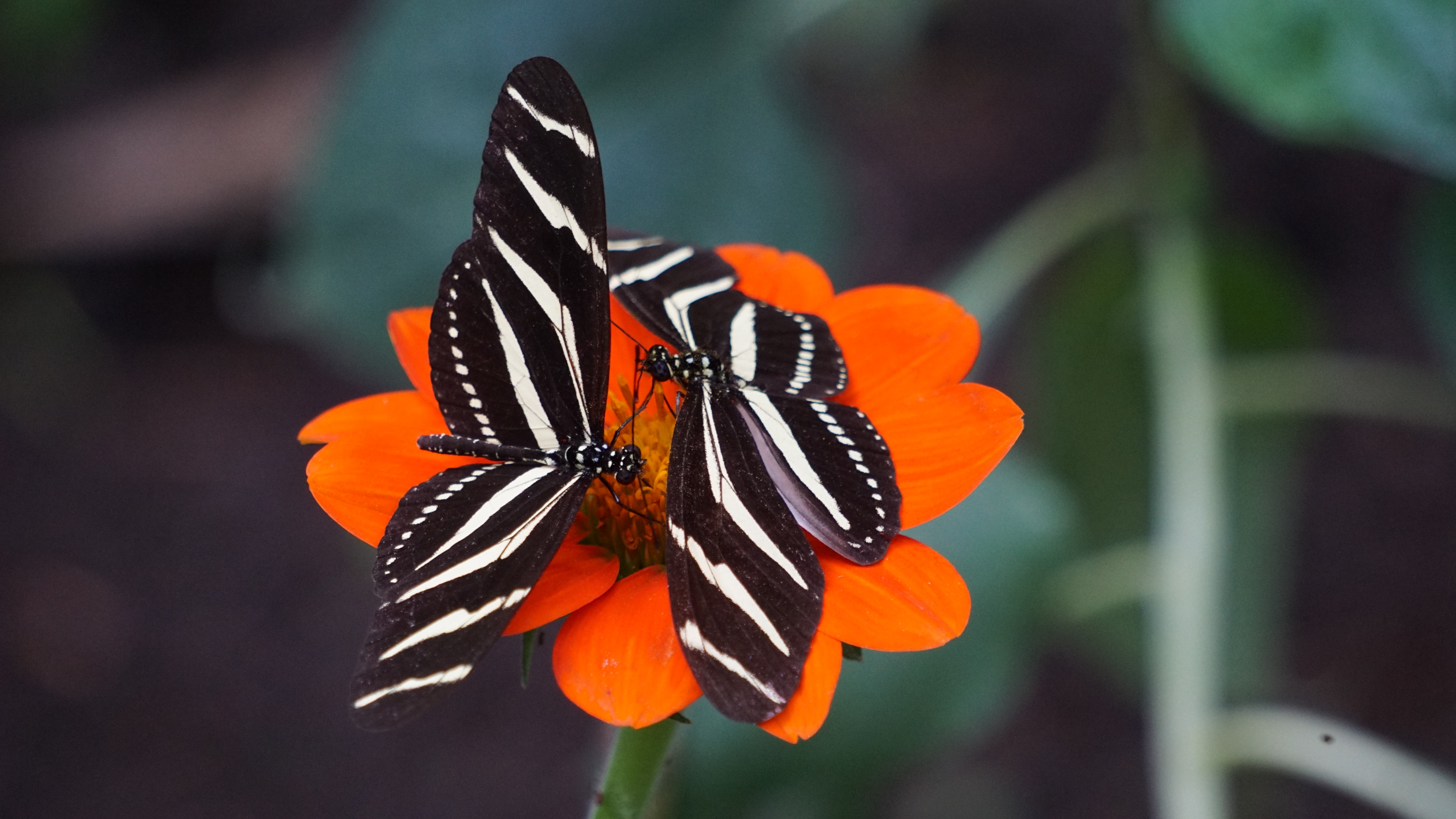 Two black butterflies with white stripes on their wings on a deep orange flower