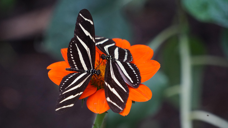 two white-and-black zebra longwing butterflies on orange petal flowers