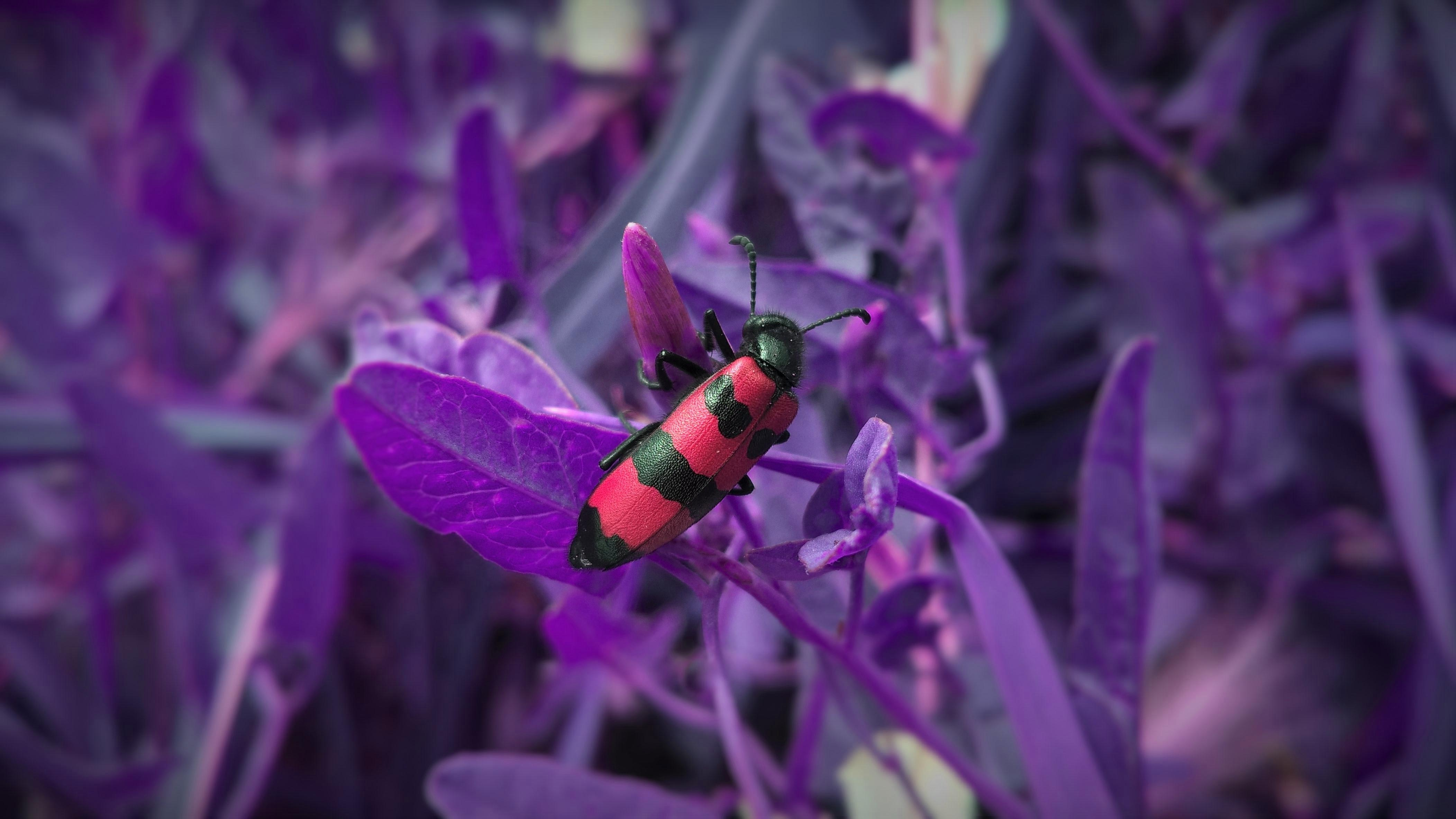 Red and black beetle climbs on purple plants in the wild