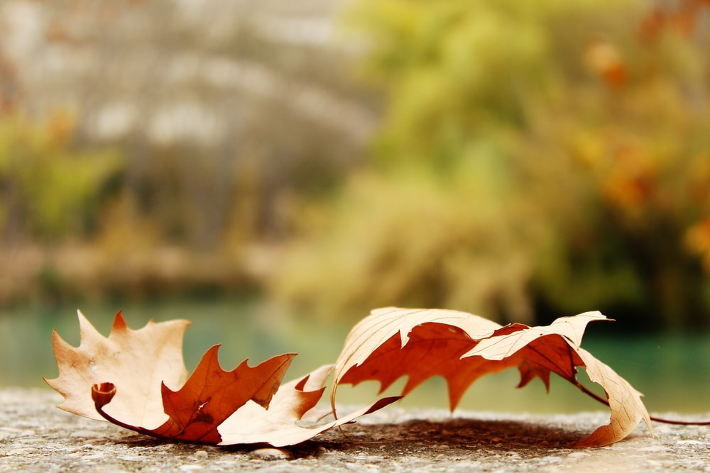 selective focus photography of two red maple leafs