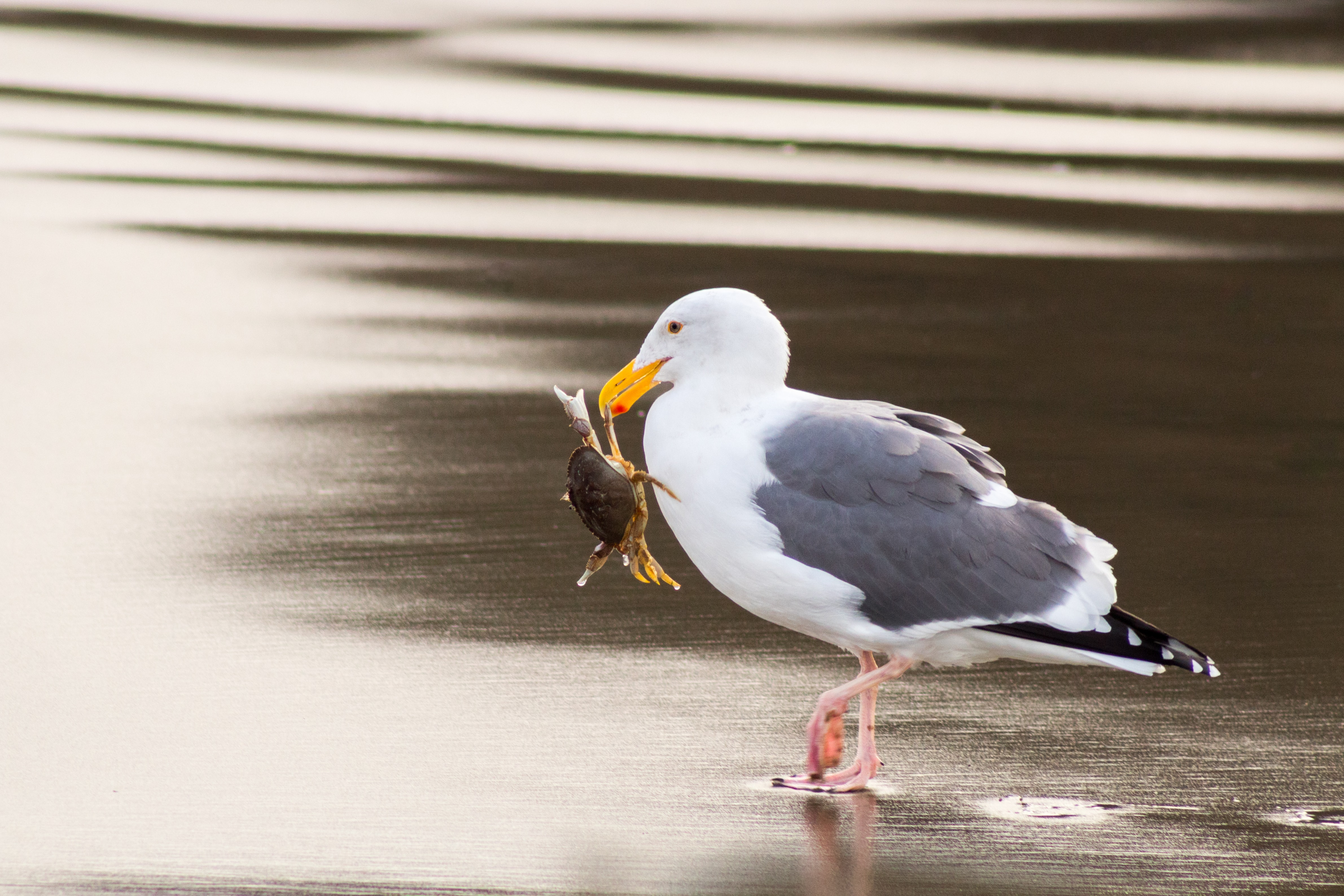seagull carrying crab using its beak