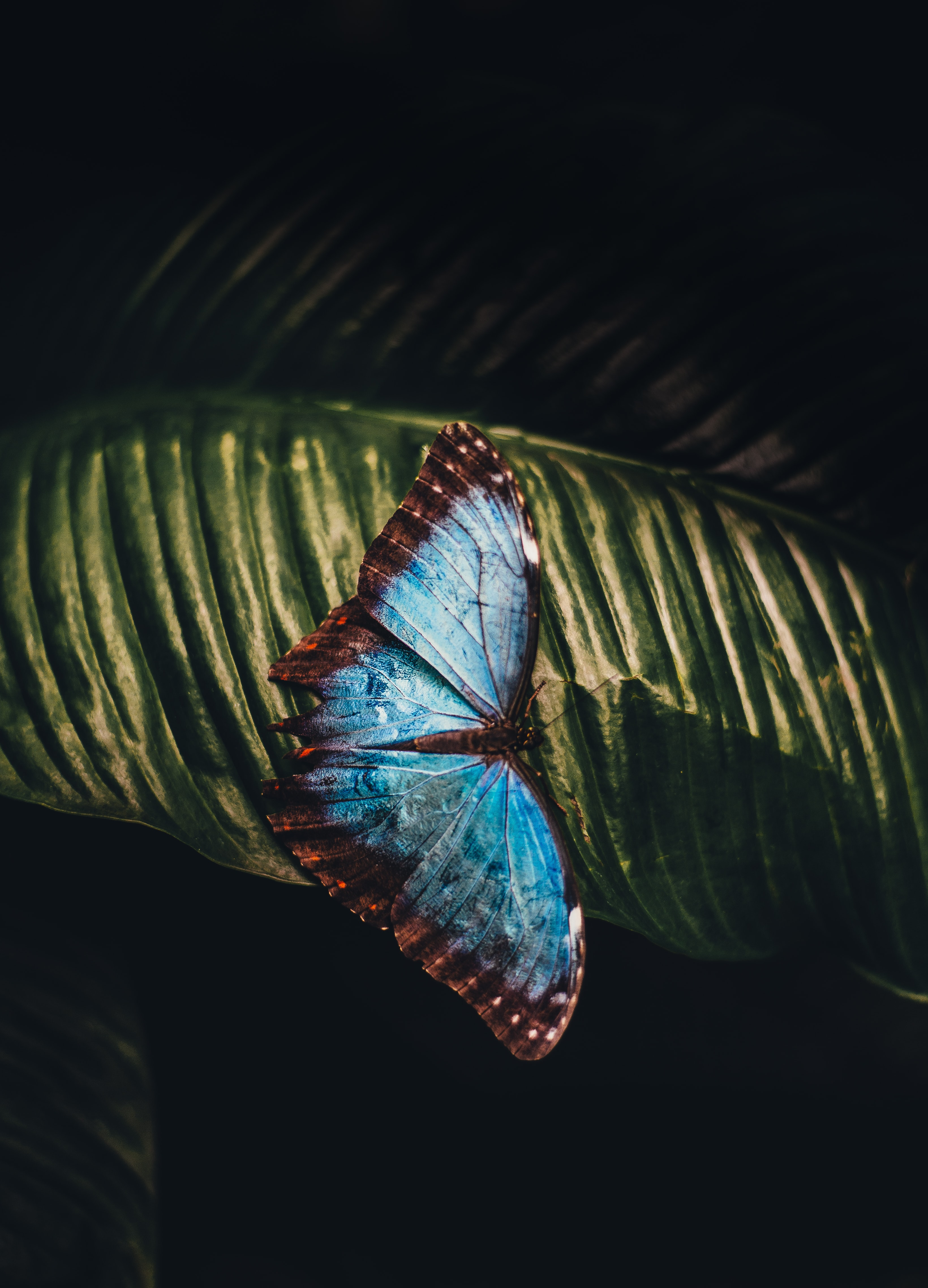 blue and brown butterfly perching on leaf