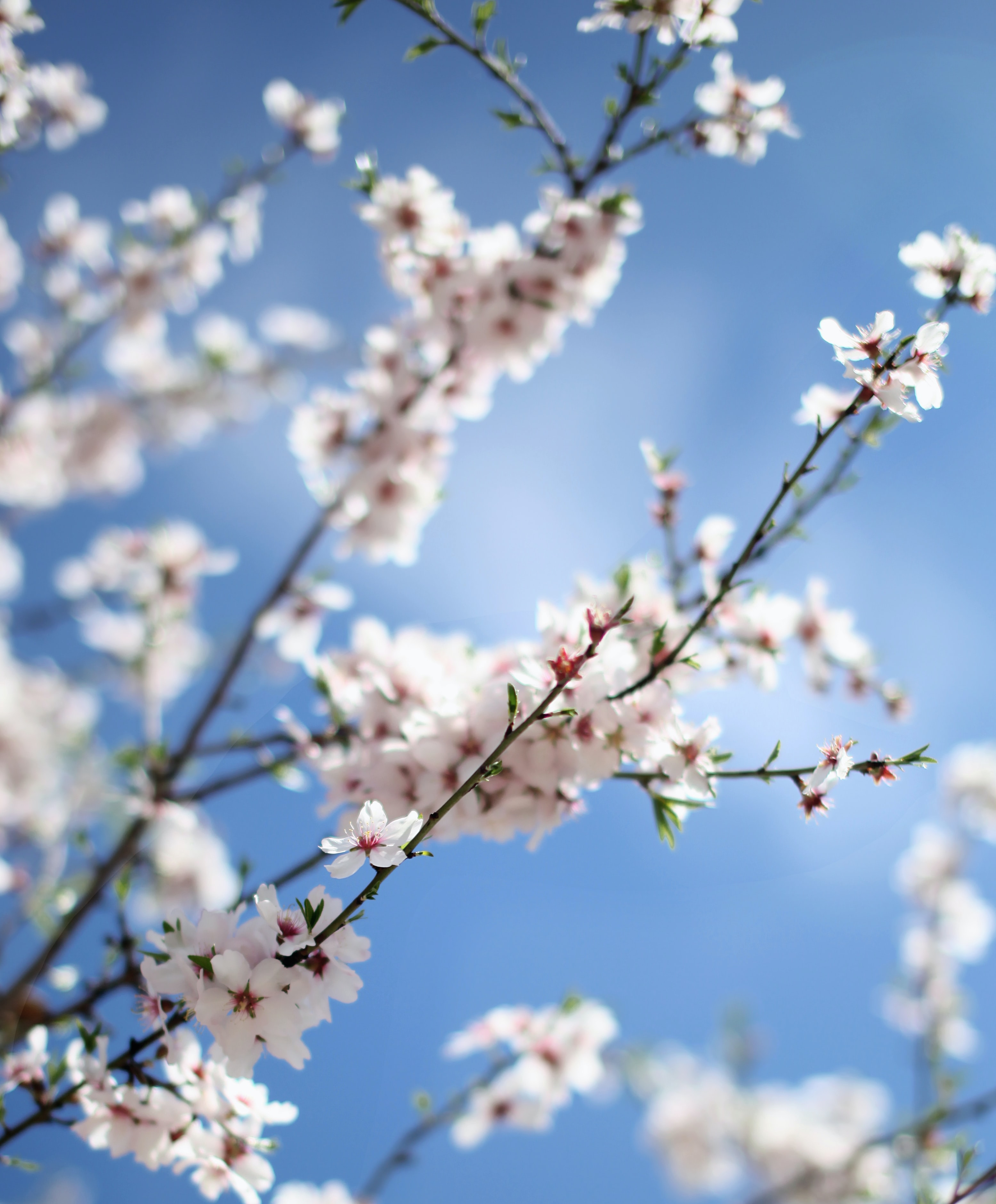 Close up of branch with blossom flower with clear blue sky background in Spring