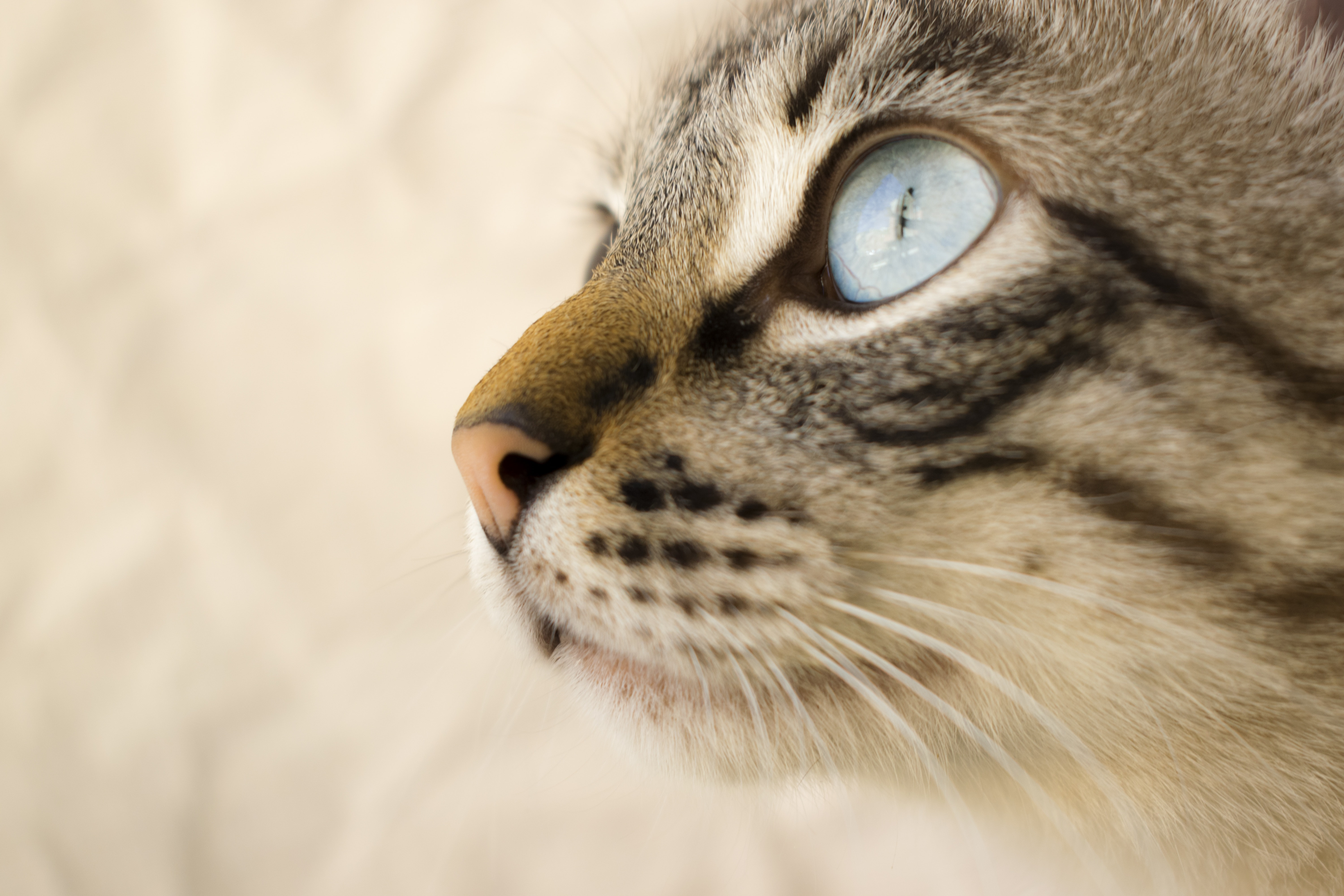 Close-up of a domestic cat's large blue eye